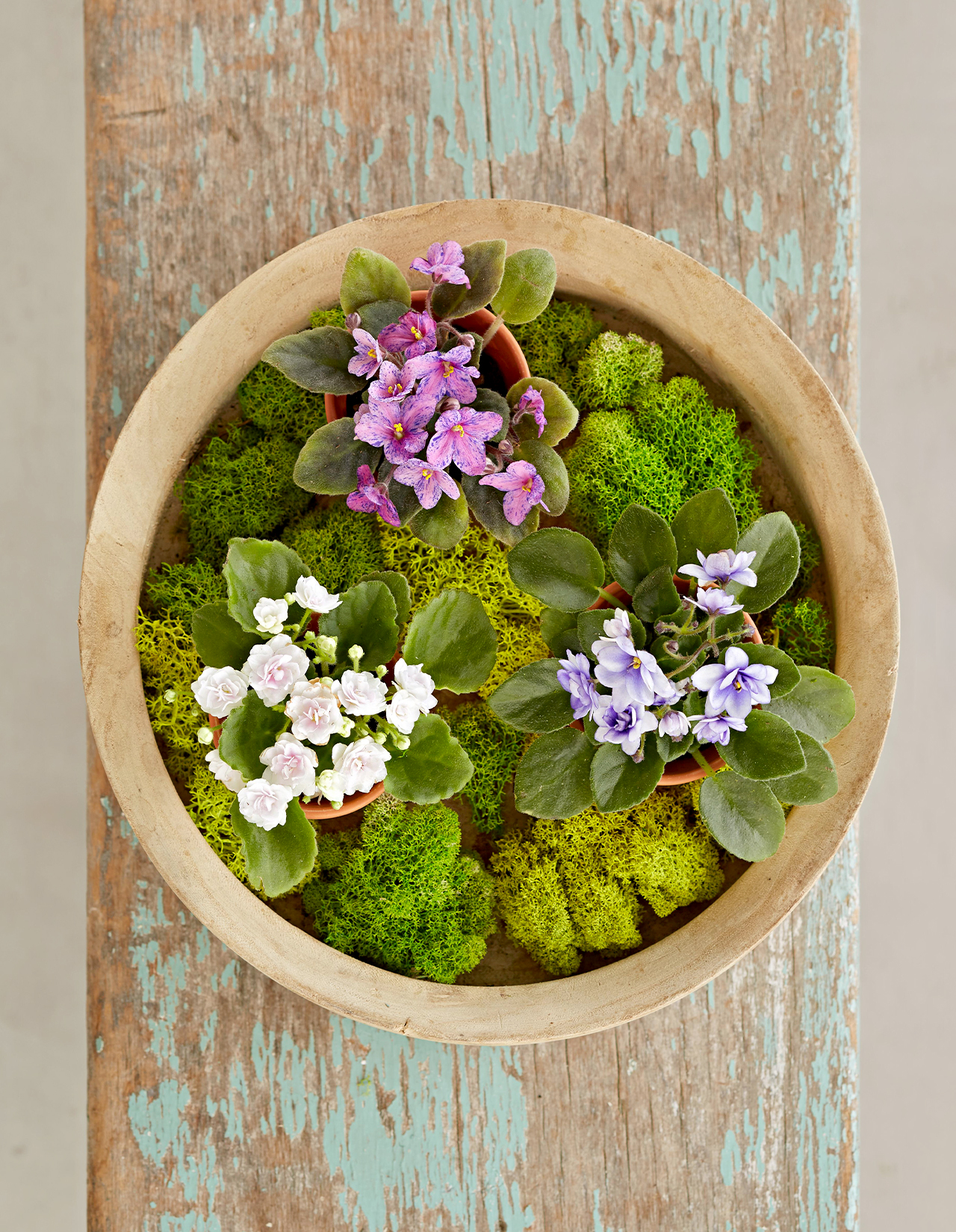 African Violets in a pot