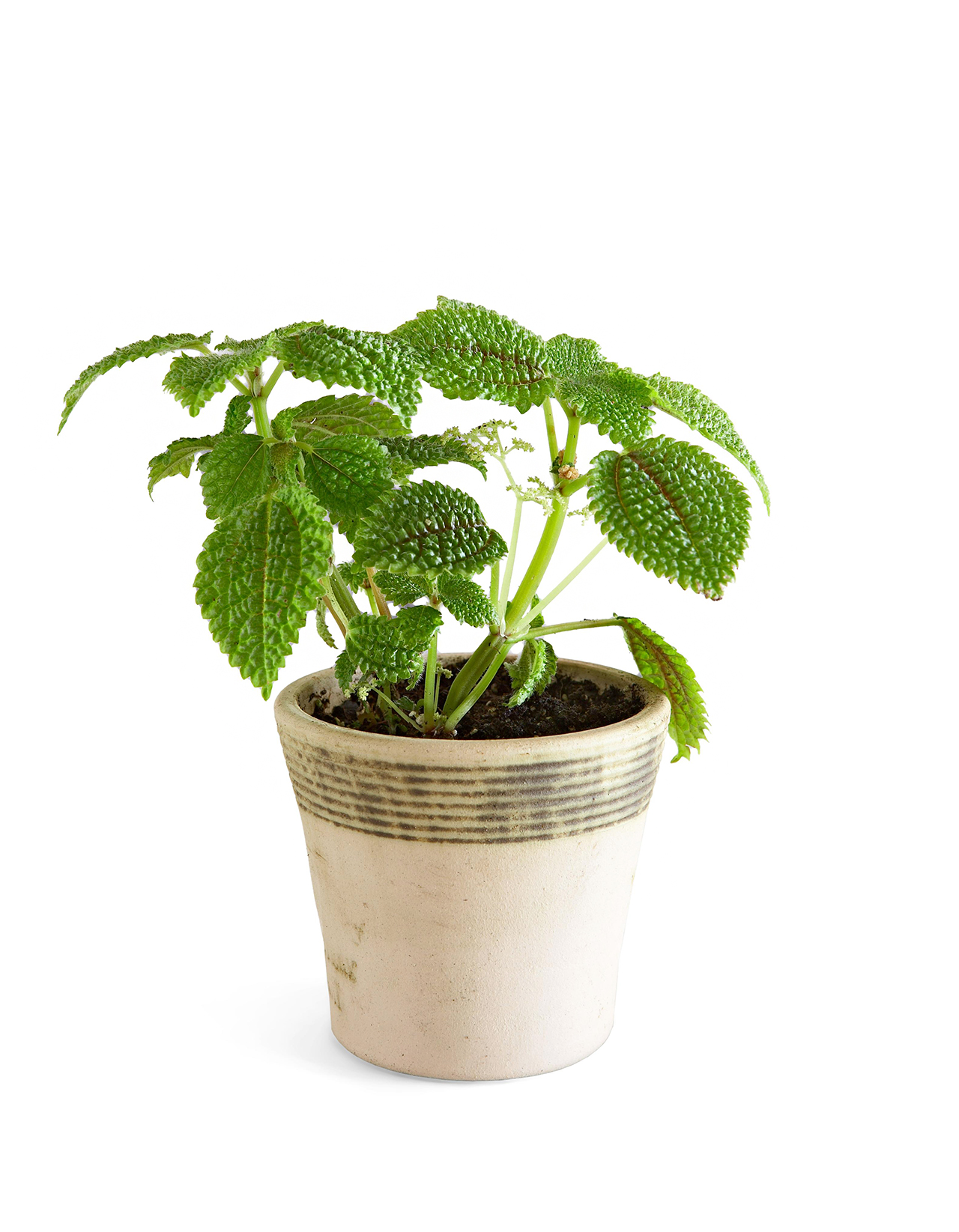 Friendship plant in a pot