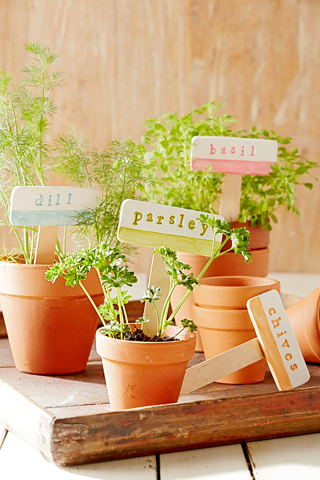 Dill, Parsley, Basil and Chives herbs in clay pots