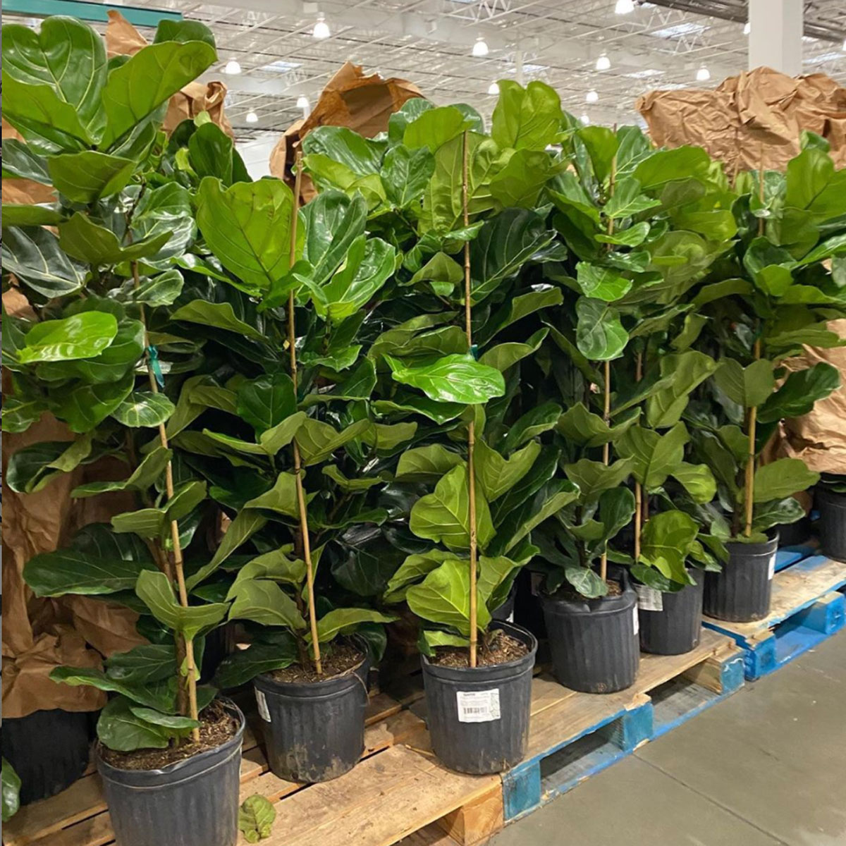costco fiddle leaf fig trees