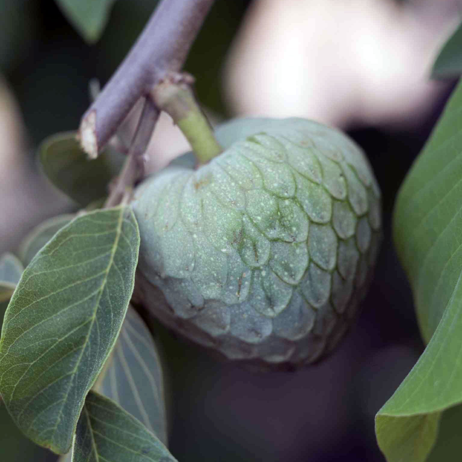 Cherimoya hanging from a tree