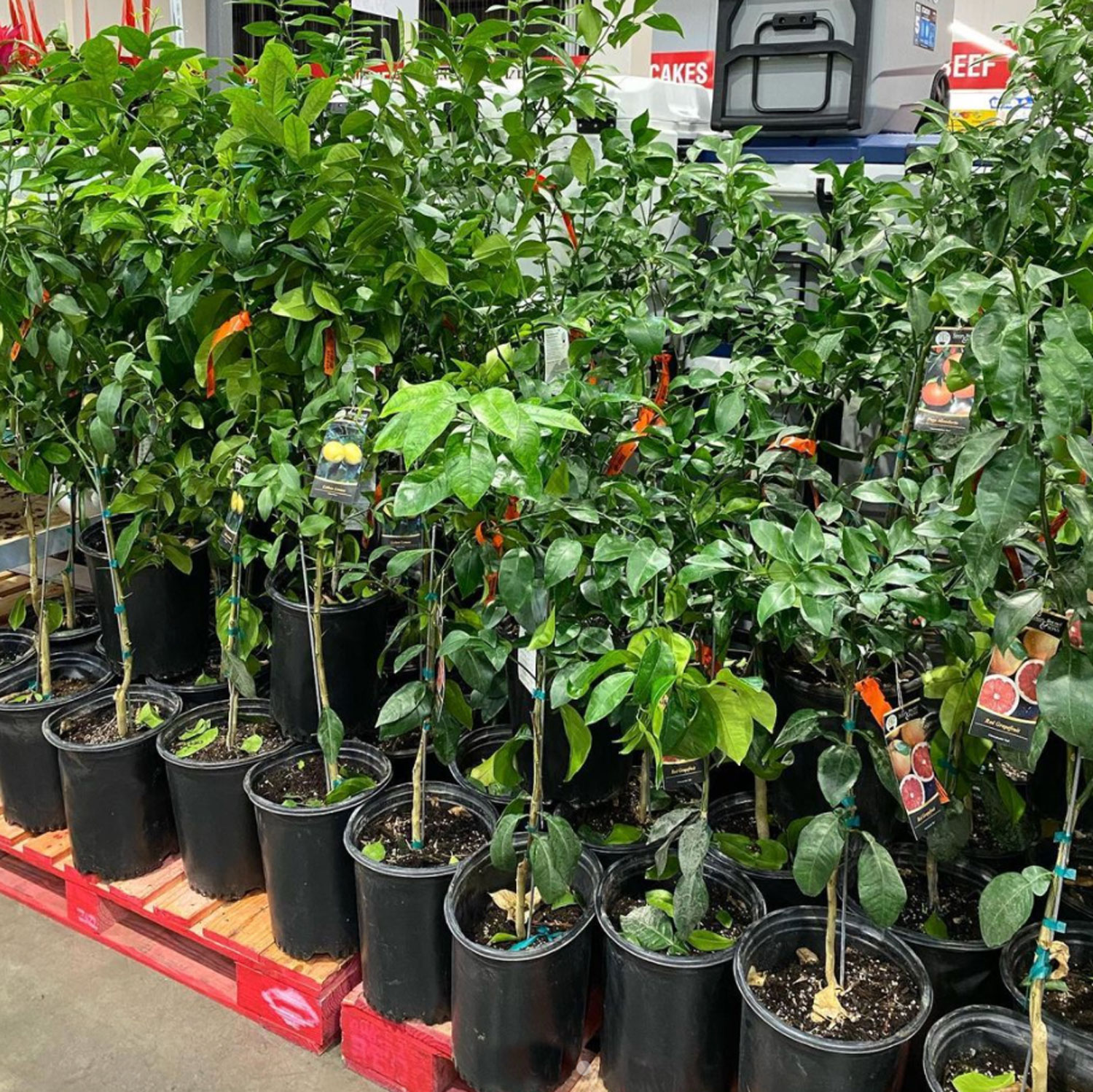 costco citrus trees