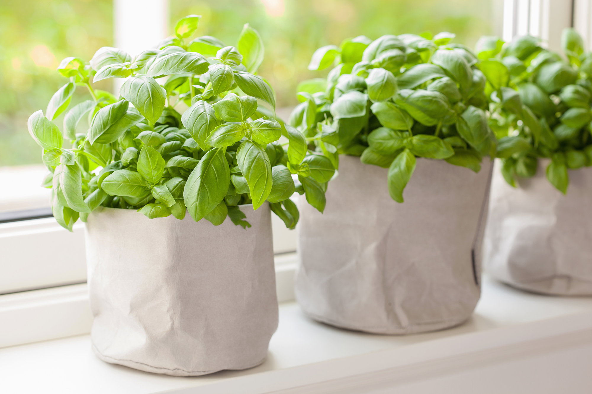 Fresh basil plants sitting on a windowsill