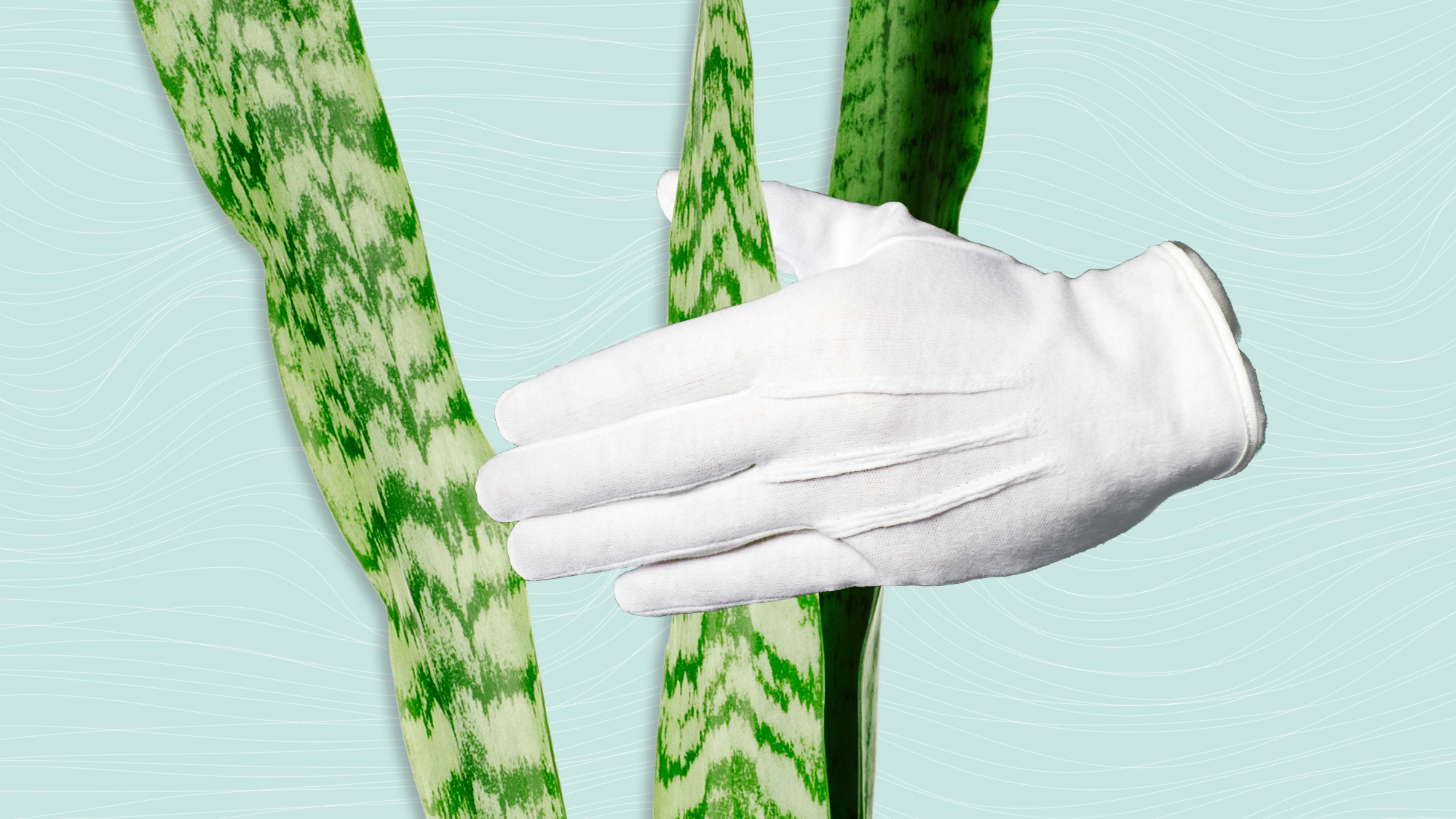 A white cotton glove hand holding and wiping down the leaves of a plant