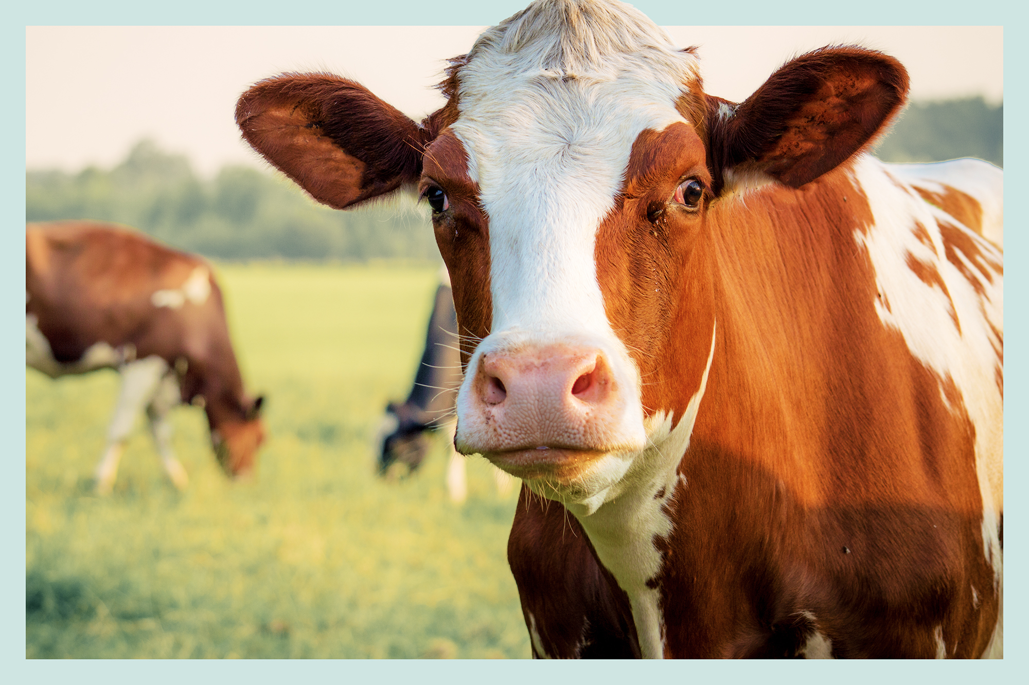 A portrait of a cow in a grassy field