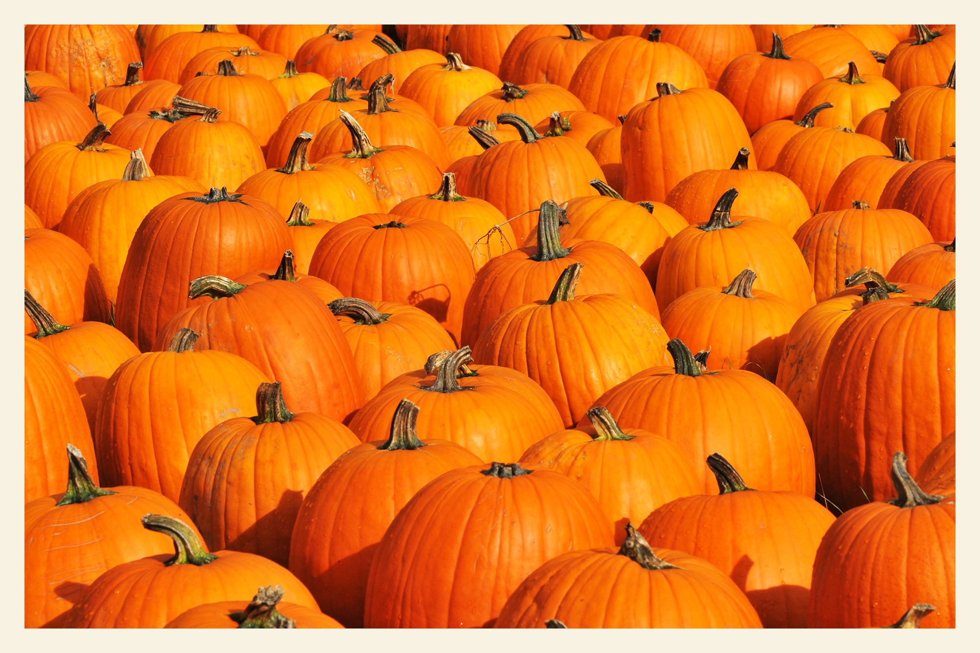 A large number of pumpkins sitting side-by-side