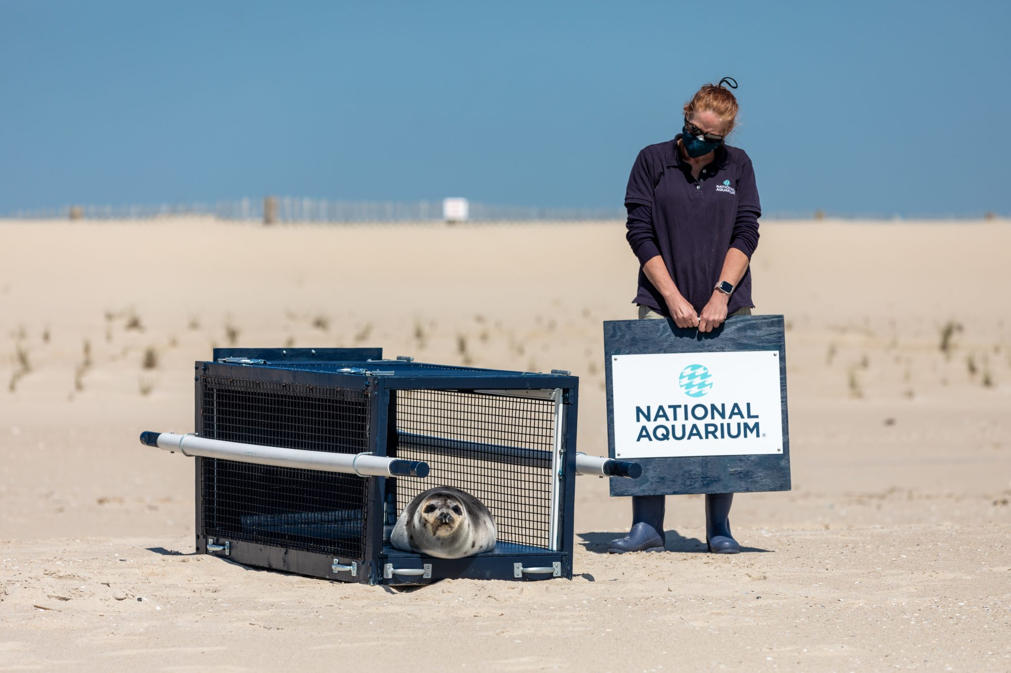 Rescue Seal Named Stuart Little Returns to Natural Habitat After Rehab Stay in Baltimore