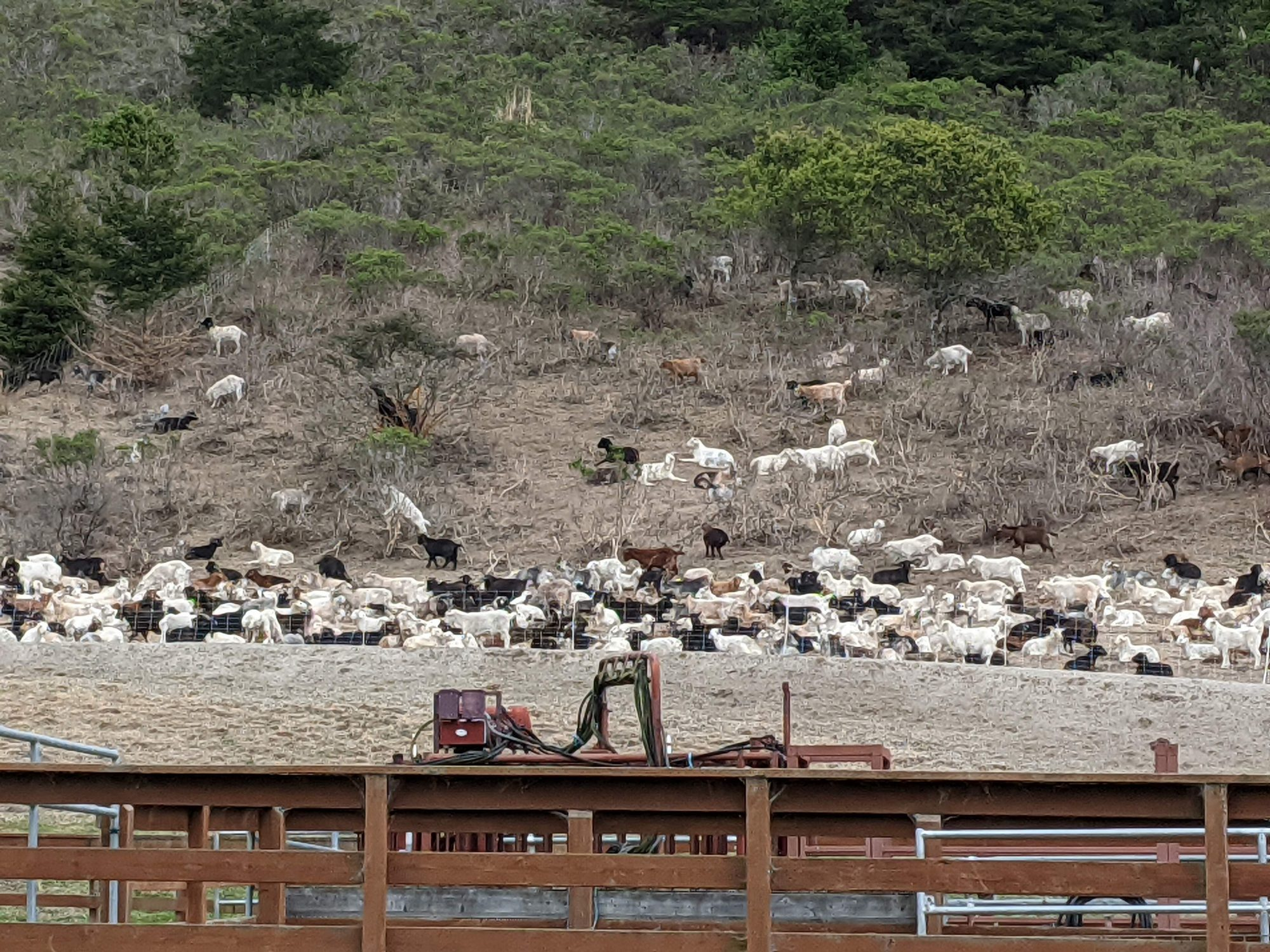 goats grazing to prevent forest fires