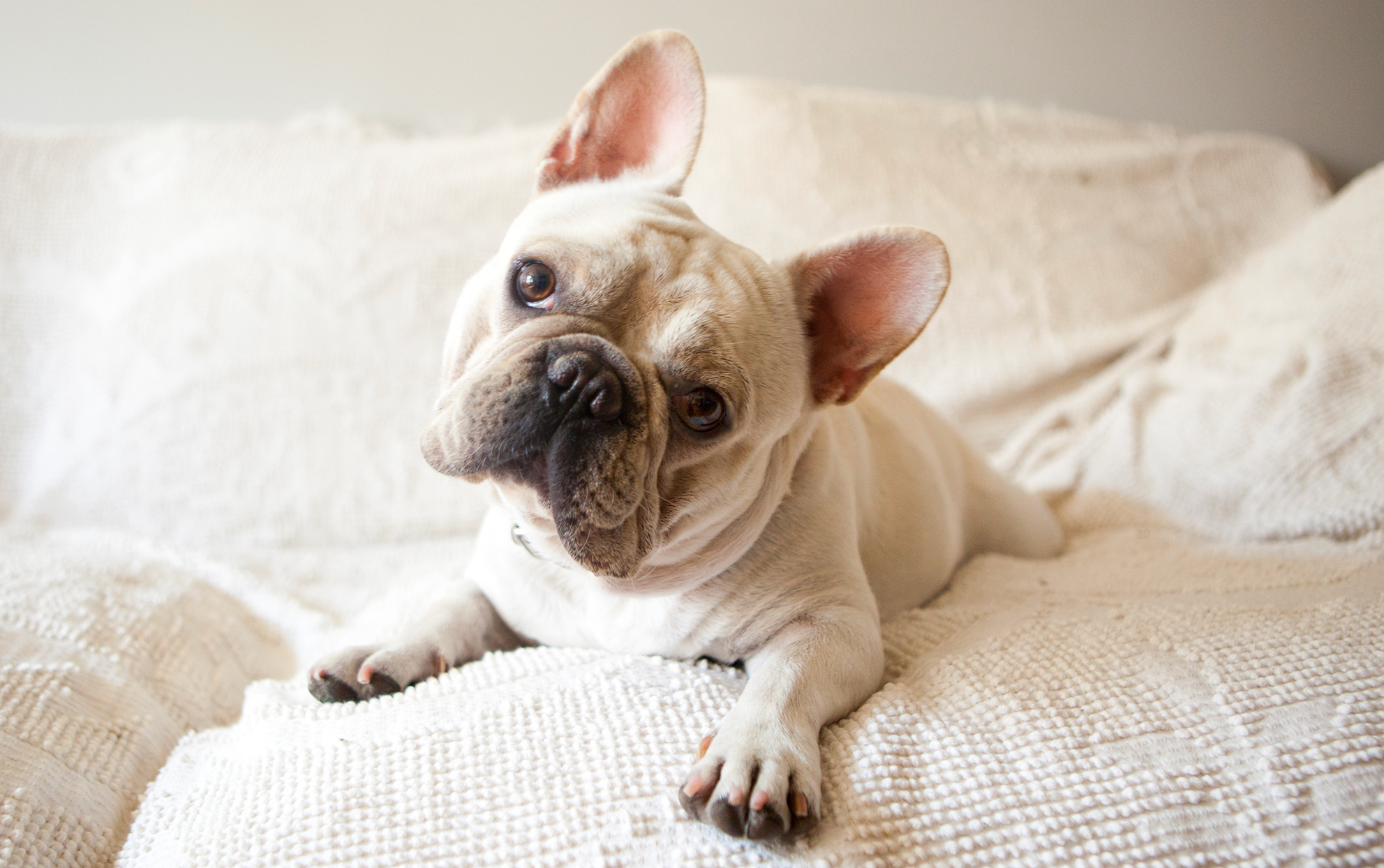 Light colored French Bulldog on a white sofa tilting it's head