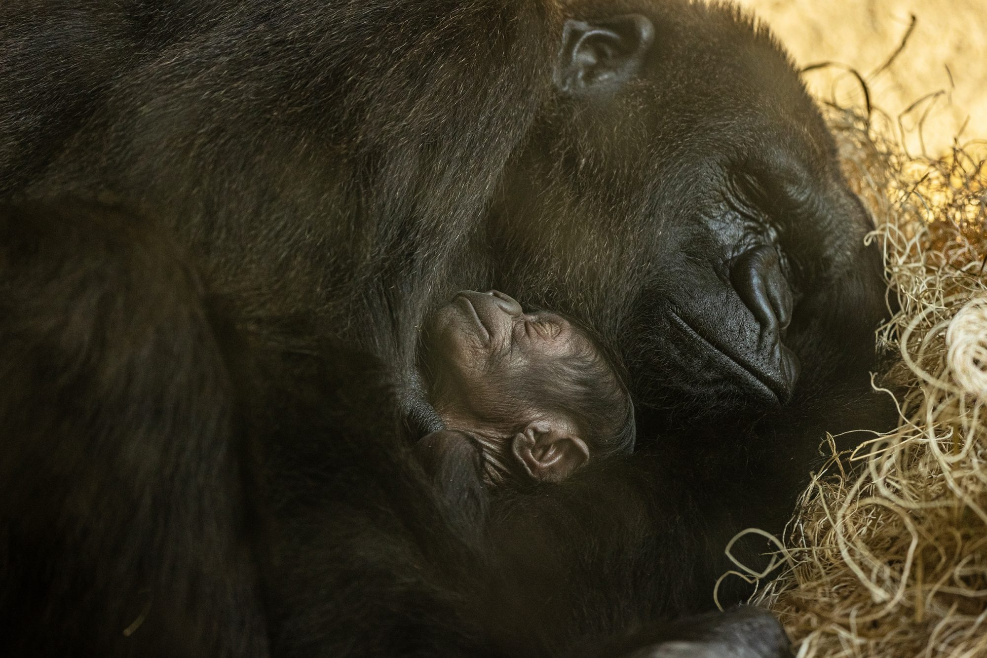 Jacksonville Zoo And Gardens Welcomes Critically Endangered Gorilla Infant