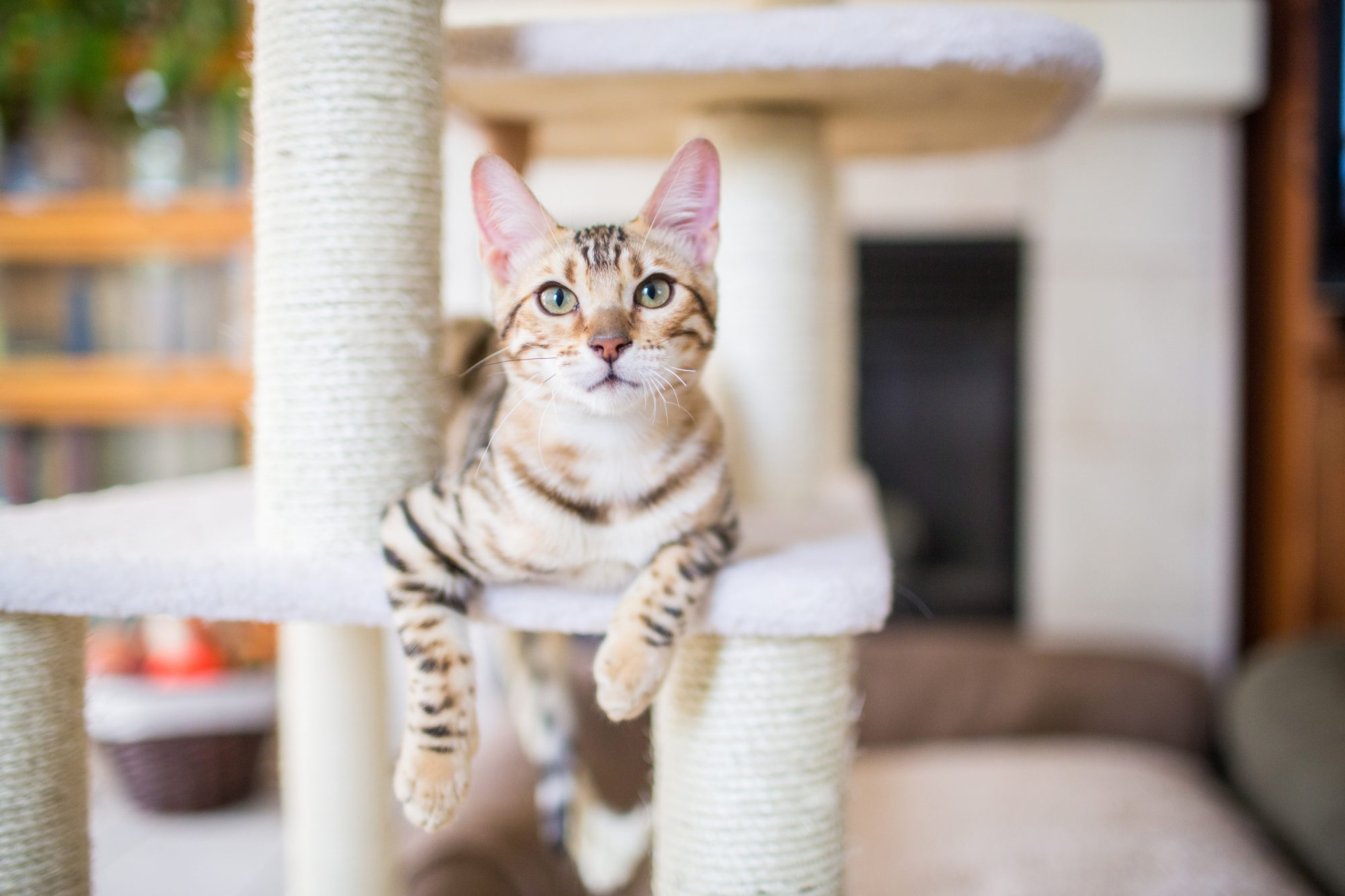 Bengal Cat Sitting on Post