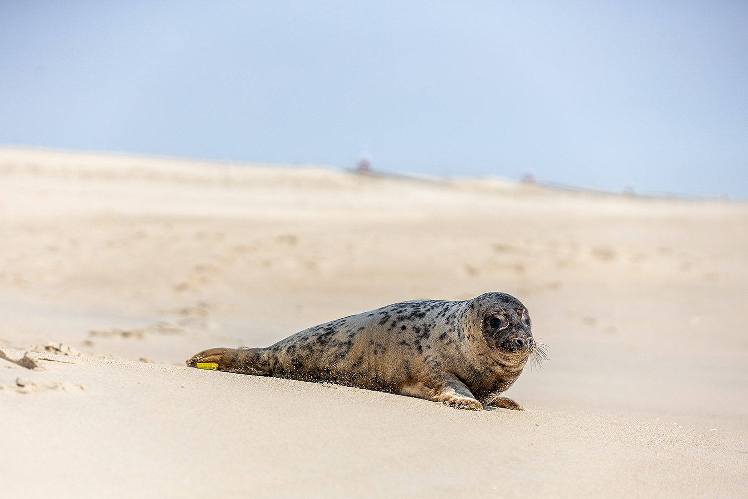 Rehabbed seal Eloise released