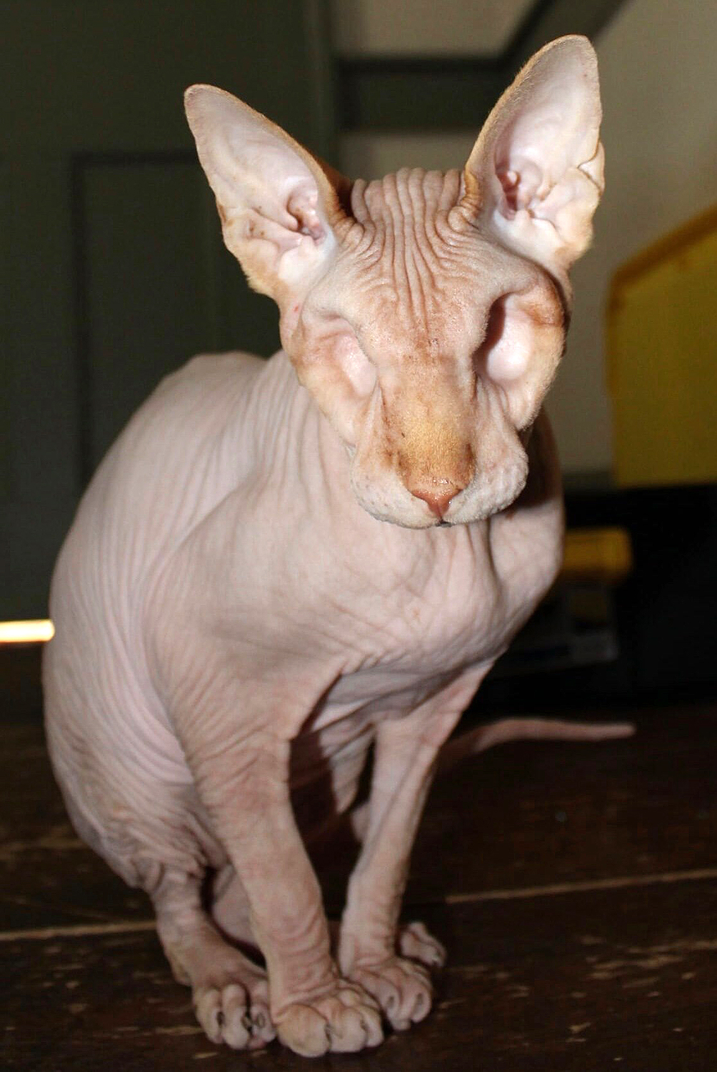Jasper the eyeless hairless cat