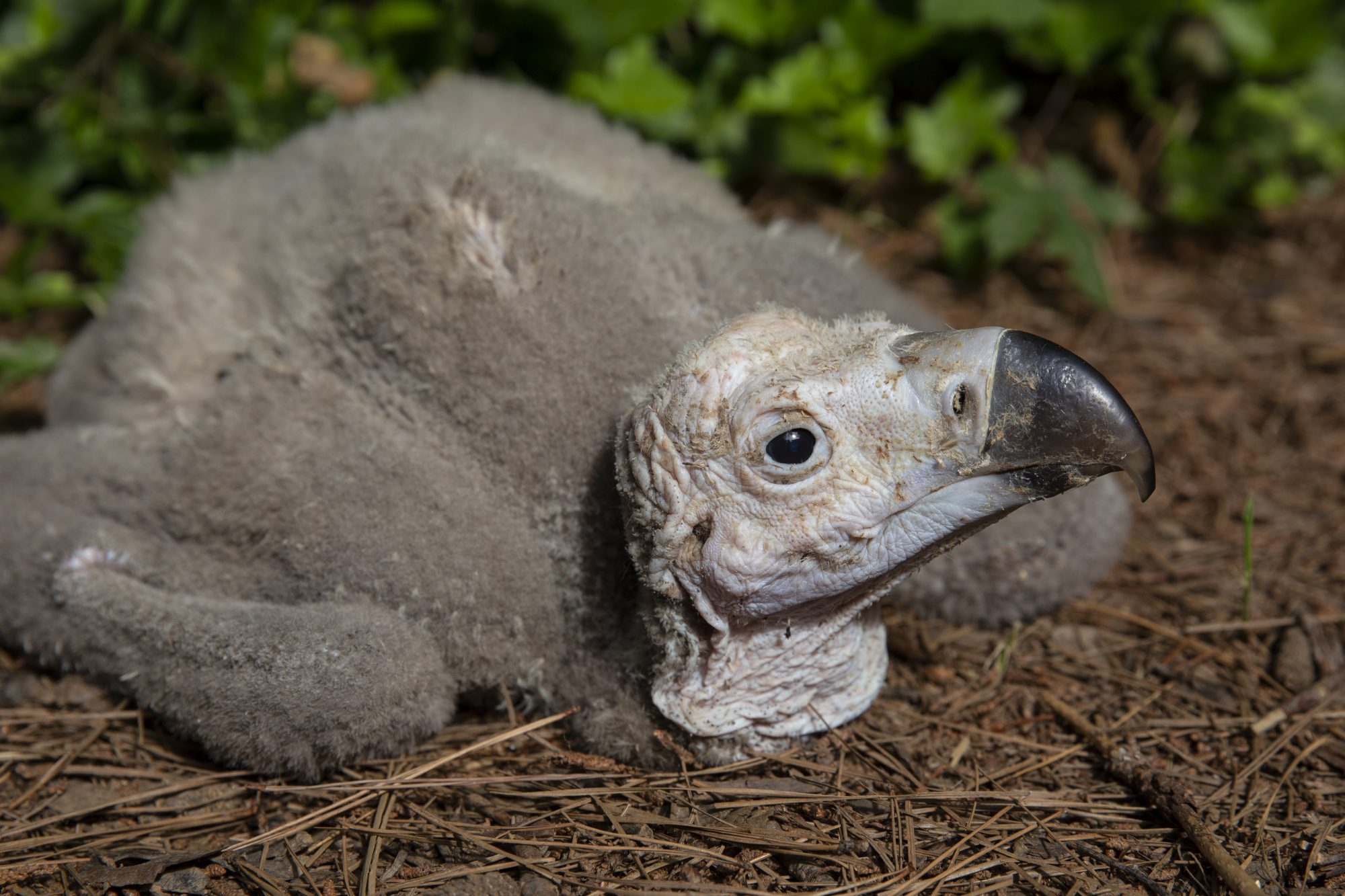 ZOO ATLANTA ANNOUNCES ITS FIRST-EVER HATCHING OF A LAPPET-FACED VULTURE CHICK