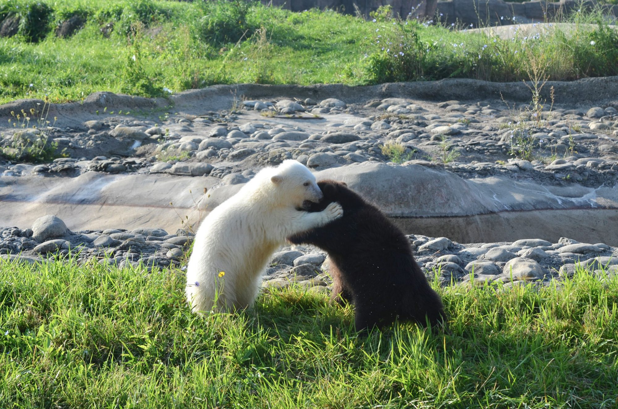 Orphaned grizzly bear becomes fast friends with polar bear cub at Detroit Zoo