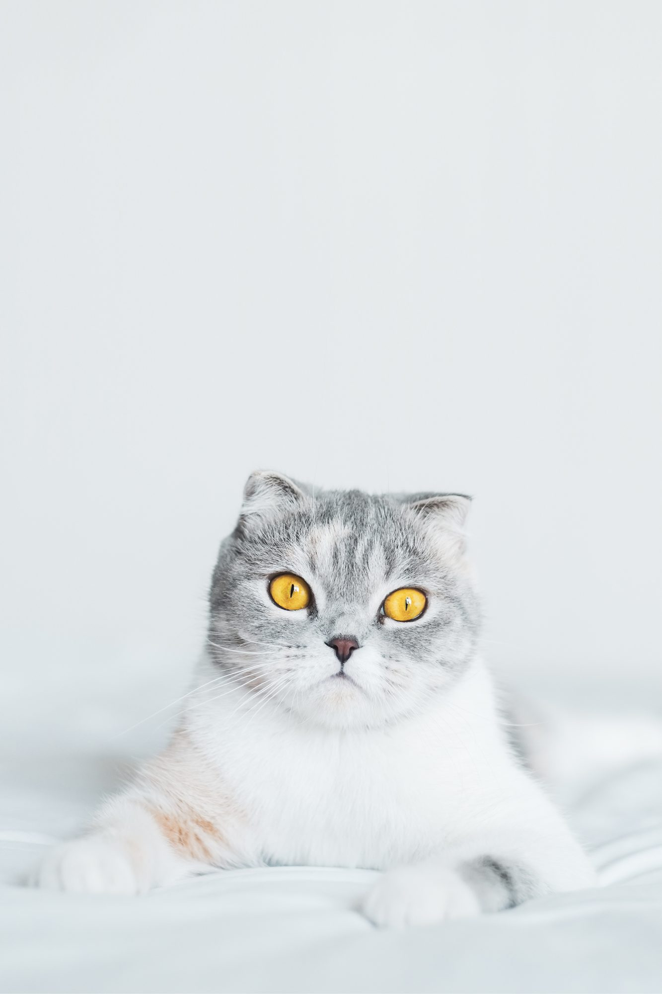 Scottish Fold Cat sitting on a bed