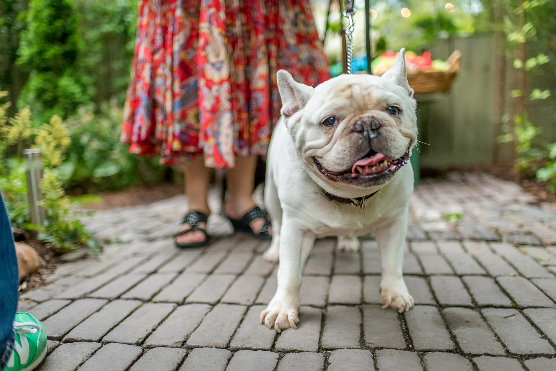 white French Bulldog on footpath during garden party