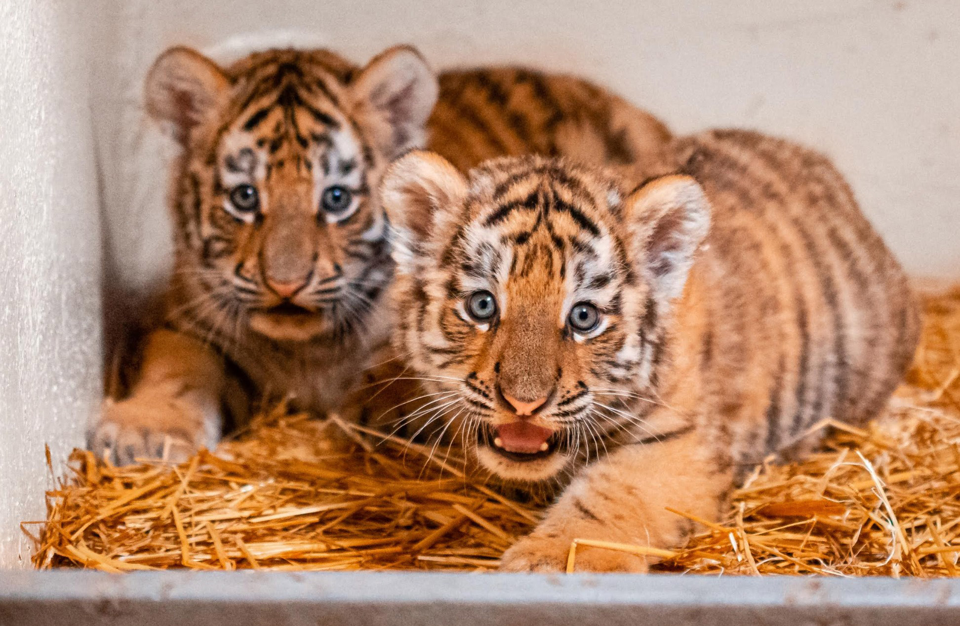 Toledo Zoo has two beautiful new Amur tiger cubs