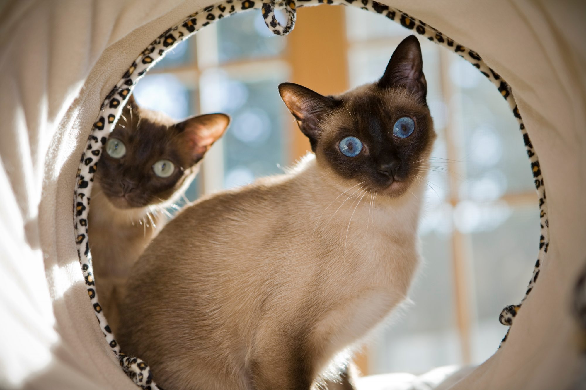 Tonkinese Cats in a Laundry Barrel