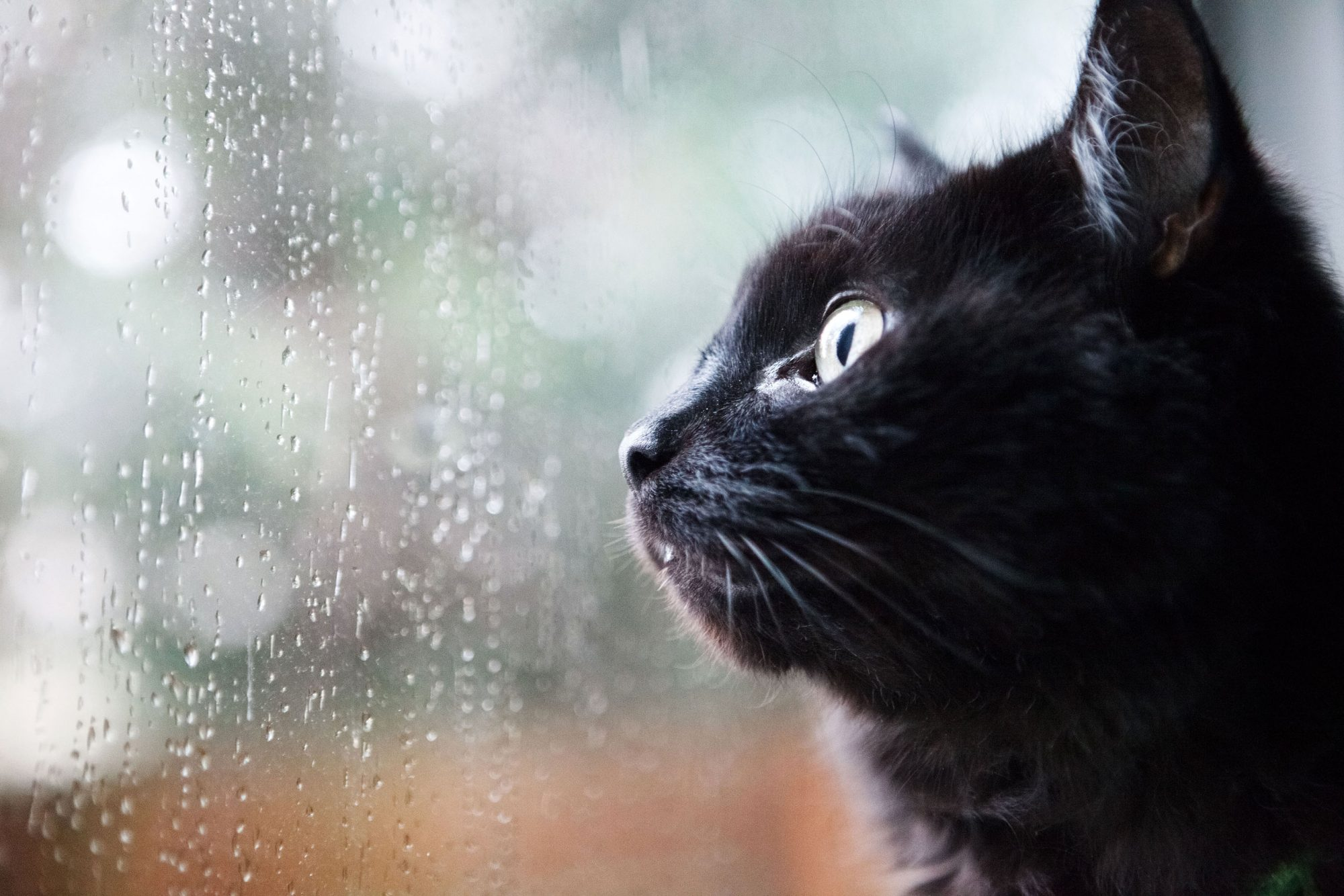 black short hair cat looking out window