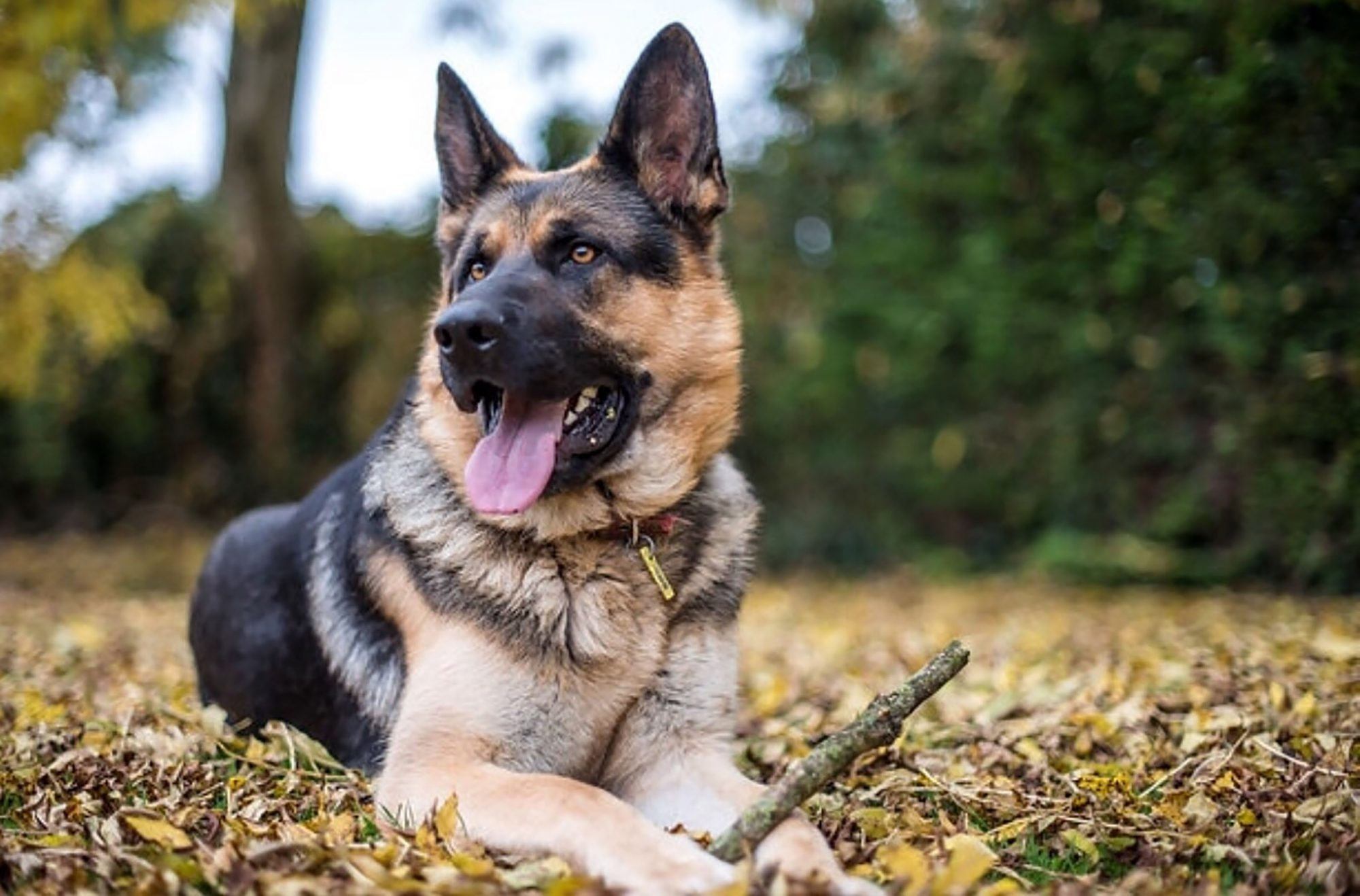 German Shepherd lying in the leaves holding a stick