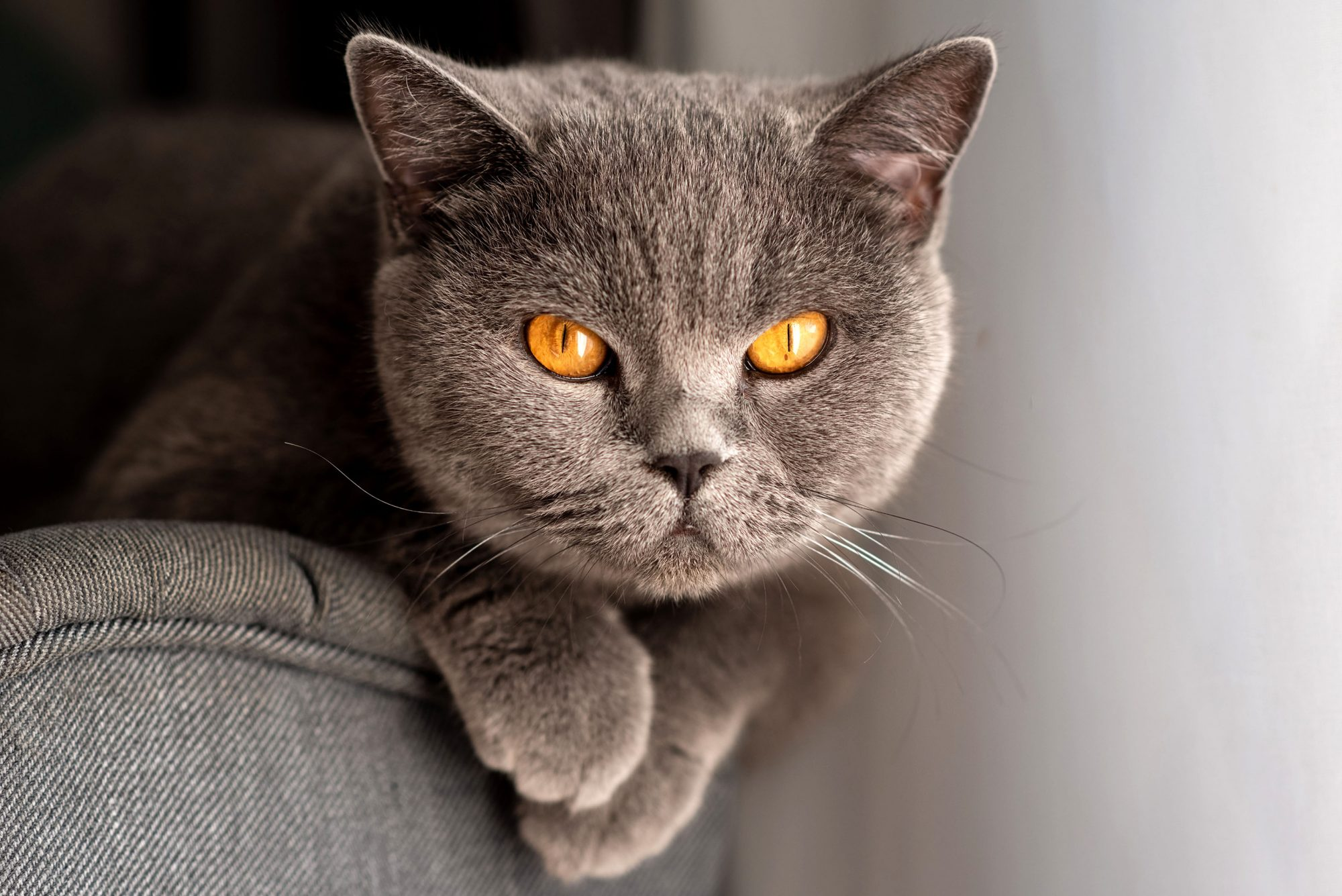 serious looking gray cat with yellow eyes