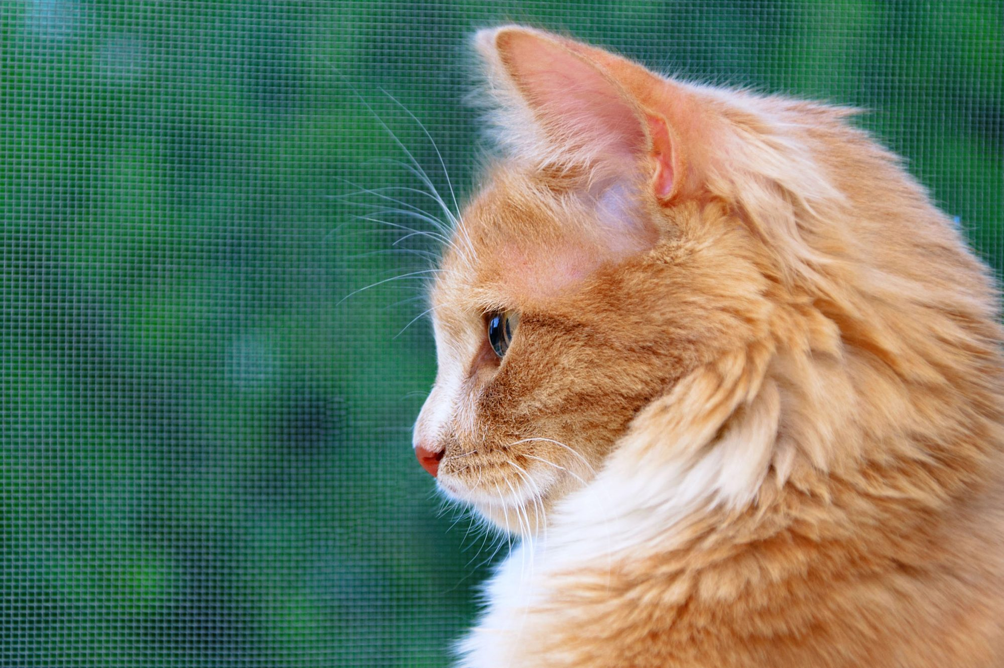 orange cat in profile on green background