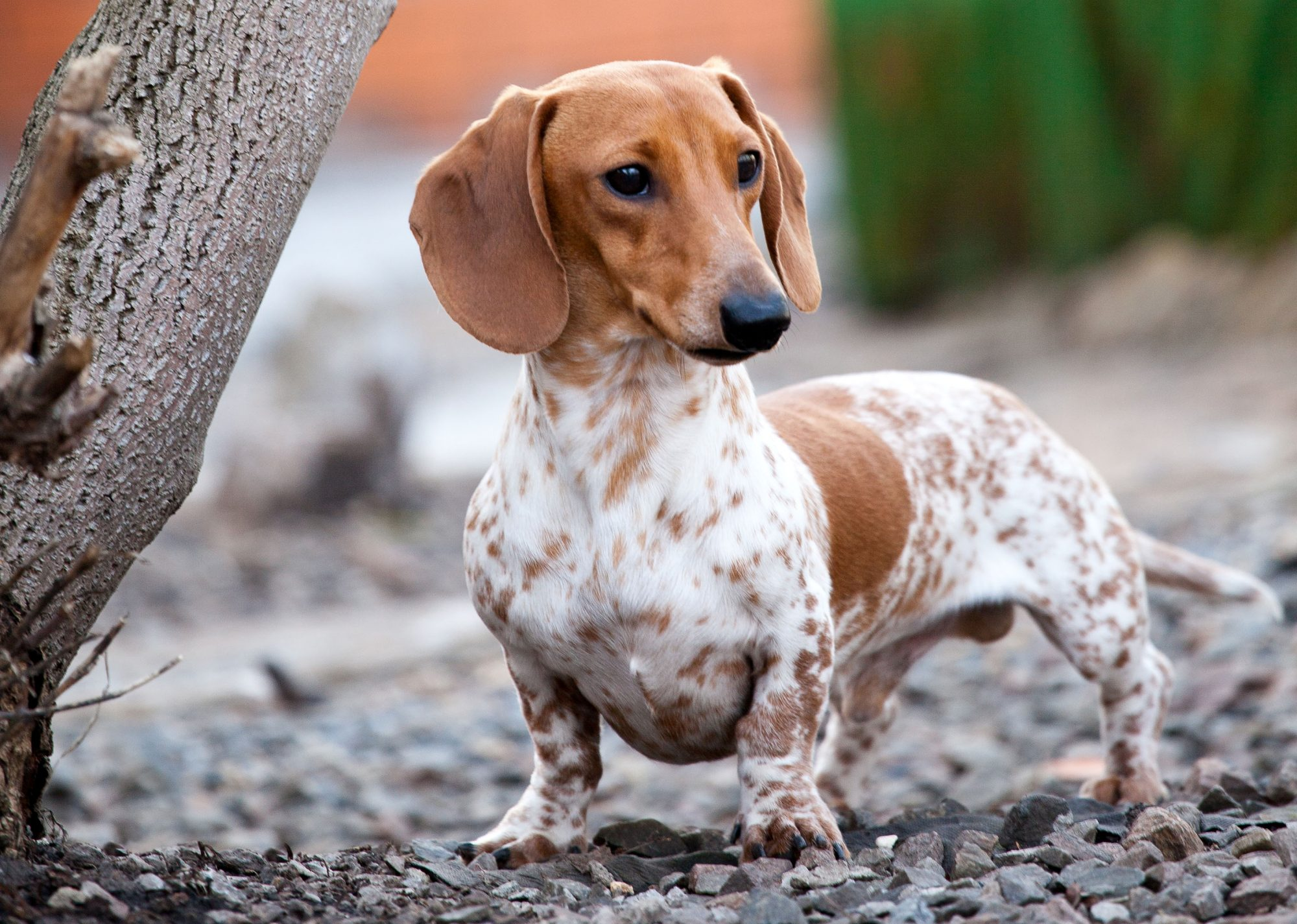 piebald brown and white dachshund outside