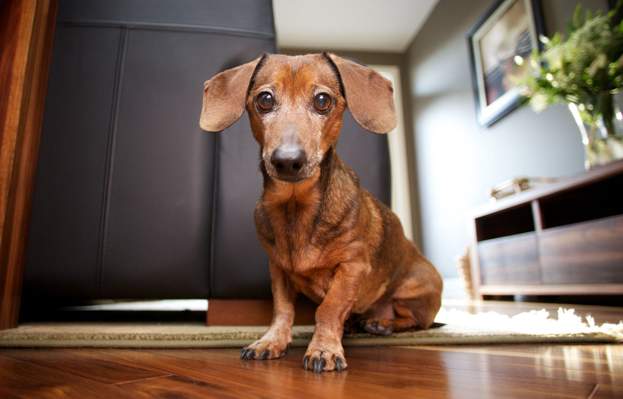 red mini dachshund sitting in living room
