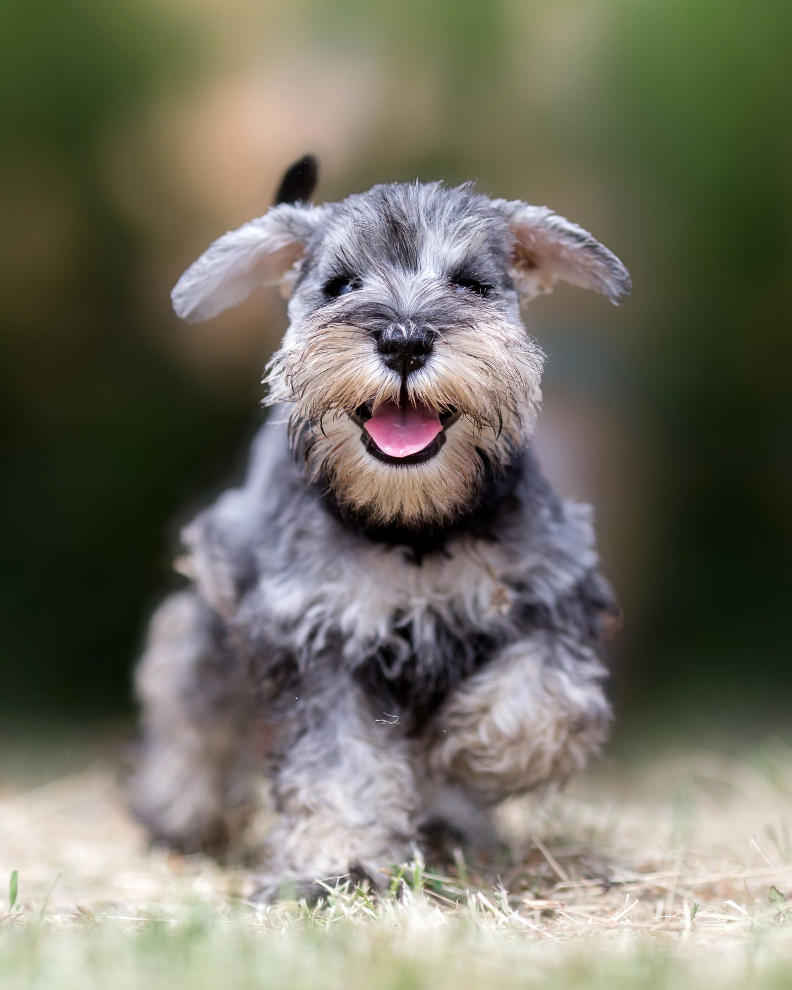 gray schnauzer puppy playing outside