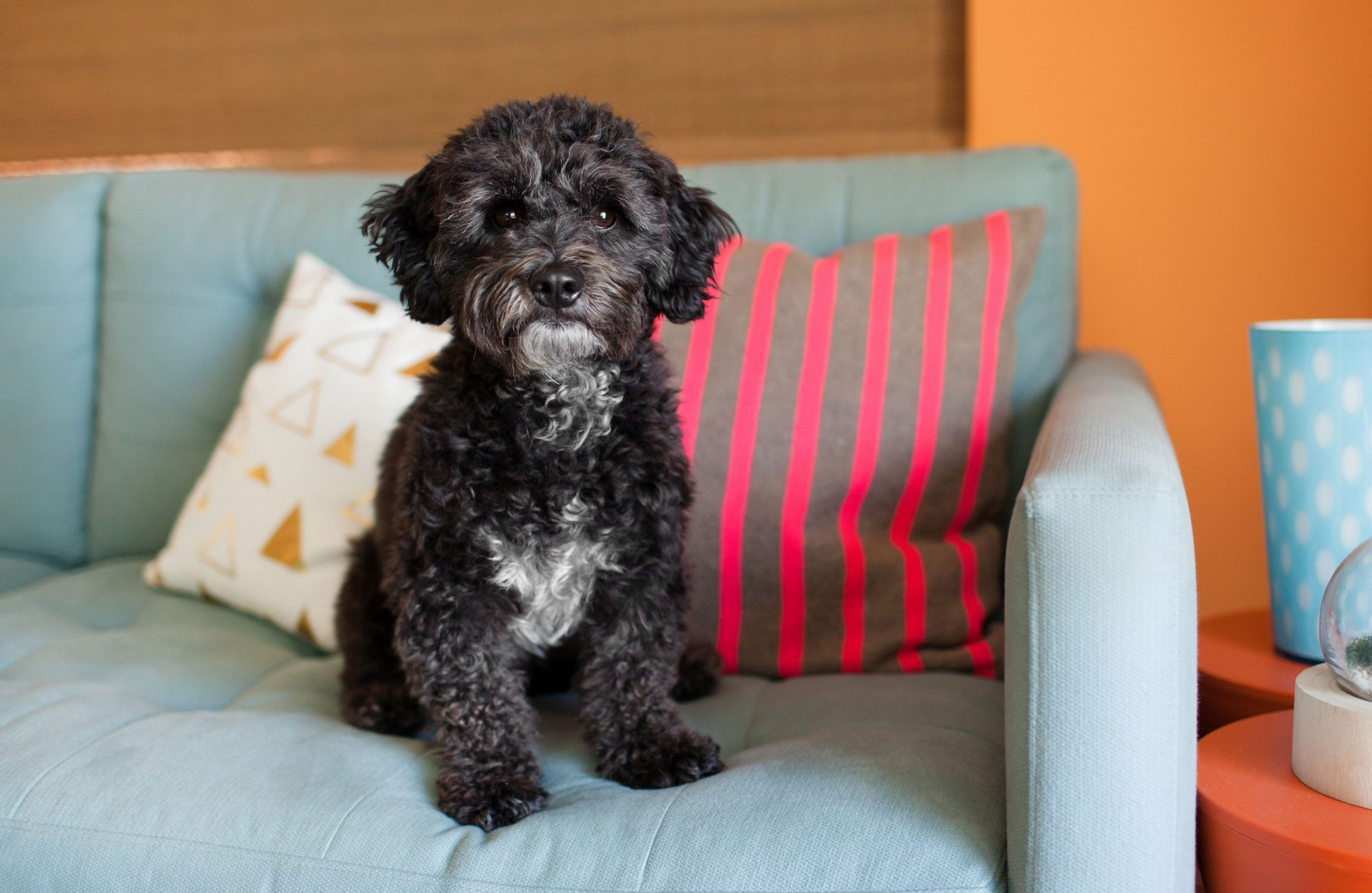 black curly-haired puppy sitting on a blue sofa