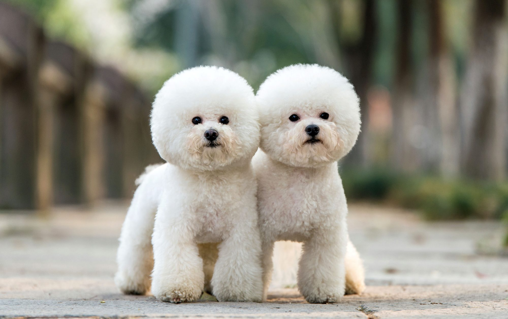 twin round cut white poodles