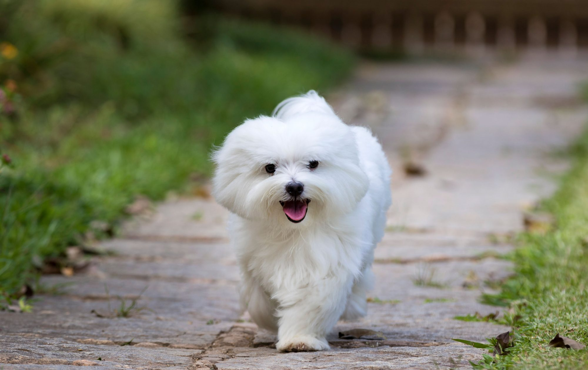 white maltese puppy taking a walk