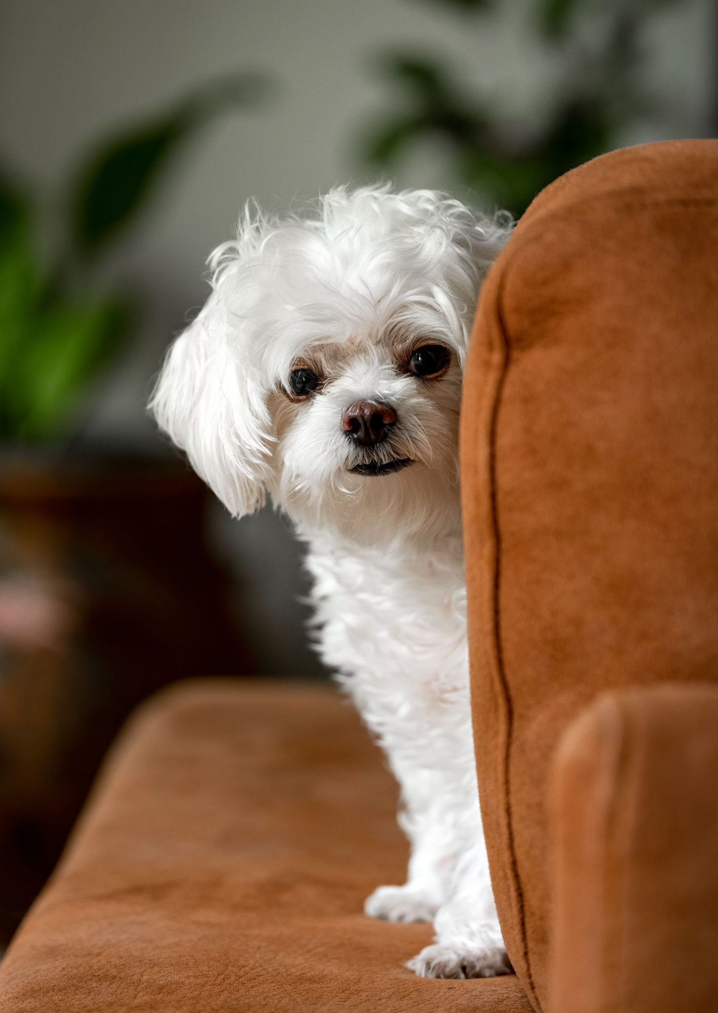 white maltese peeking around upholstered chair back