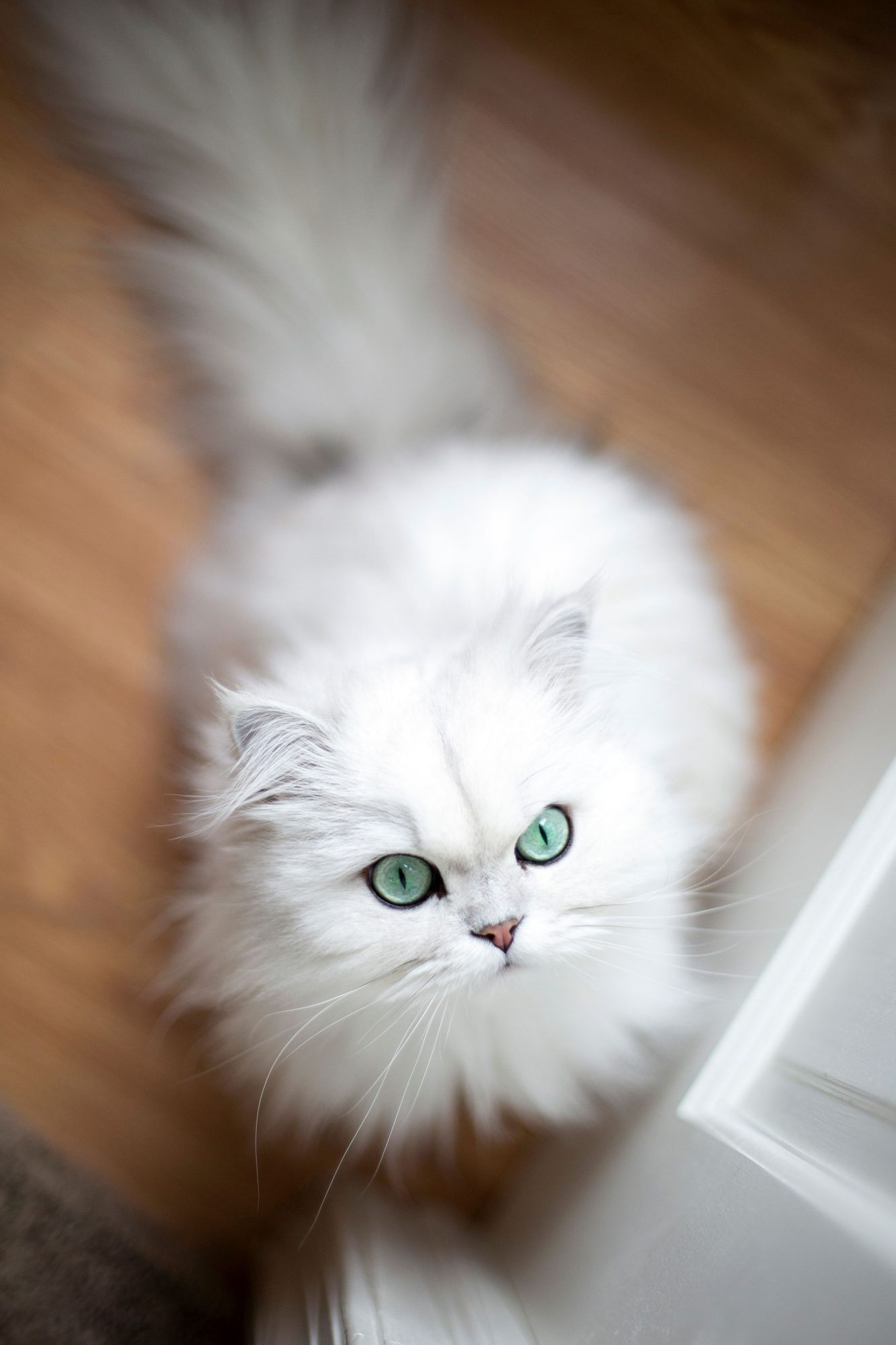 white persian with green eyes cat from above