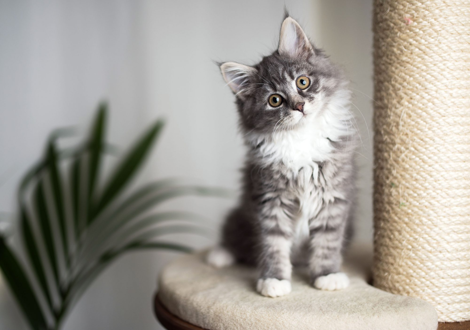 Maine coon kitten sitting on scratching post