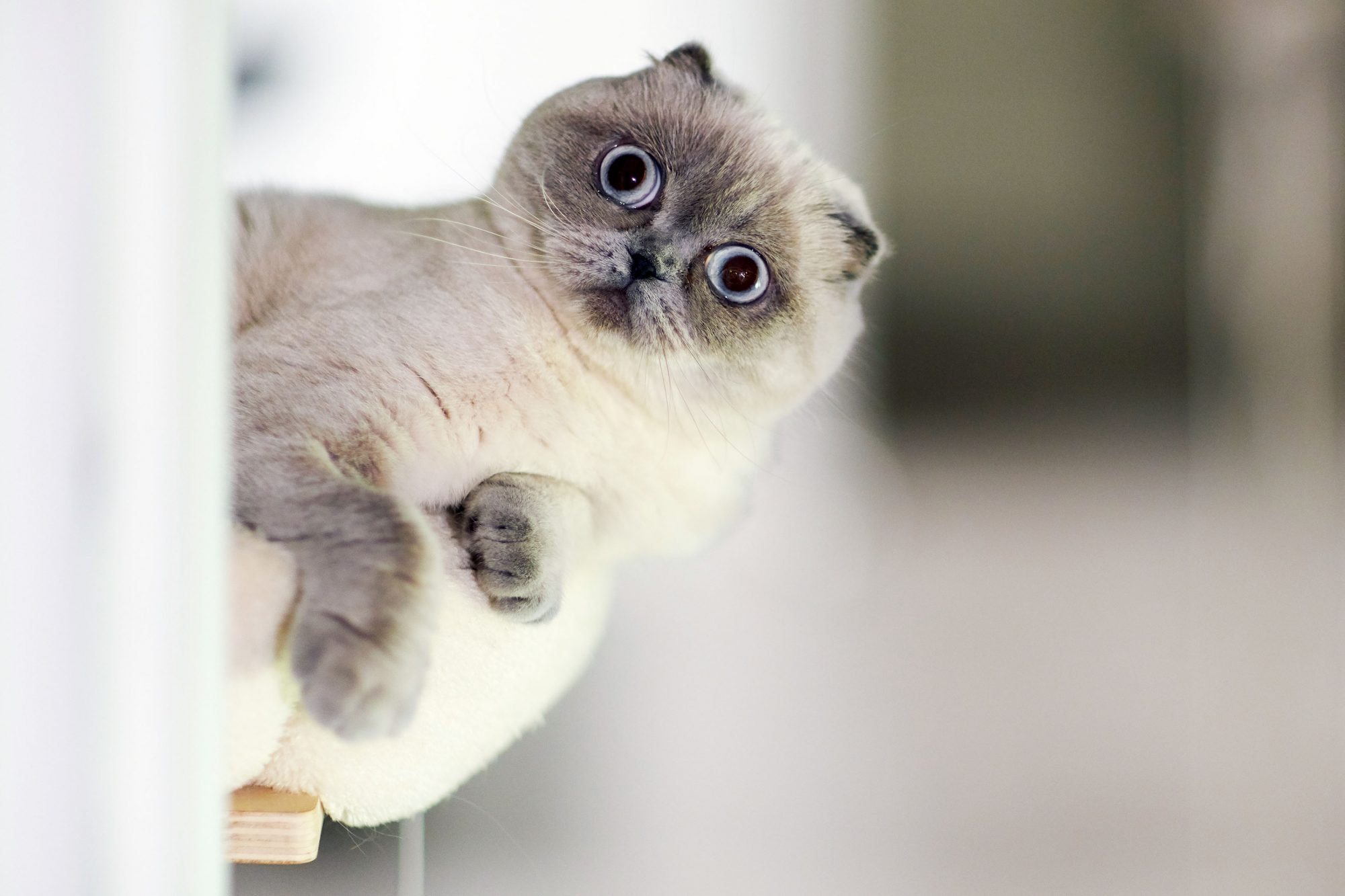 big-eyed white and gray Scottish Fold cat on high perch