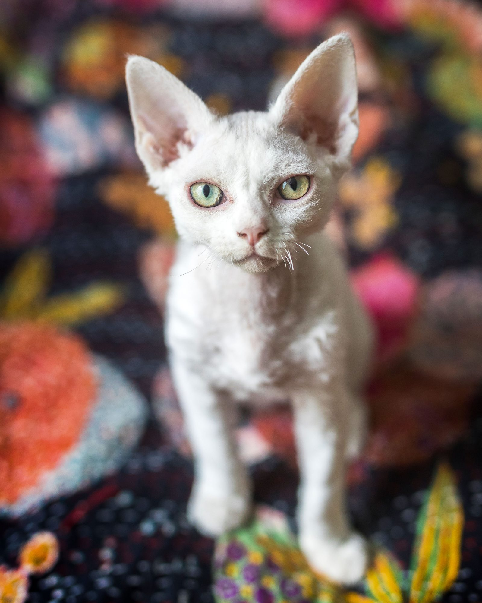 white devon rex cat on floral couch
