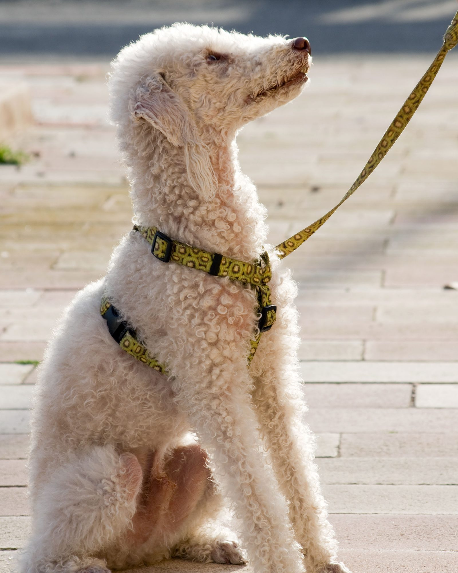 bedlington terrier on a leash sitting