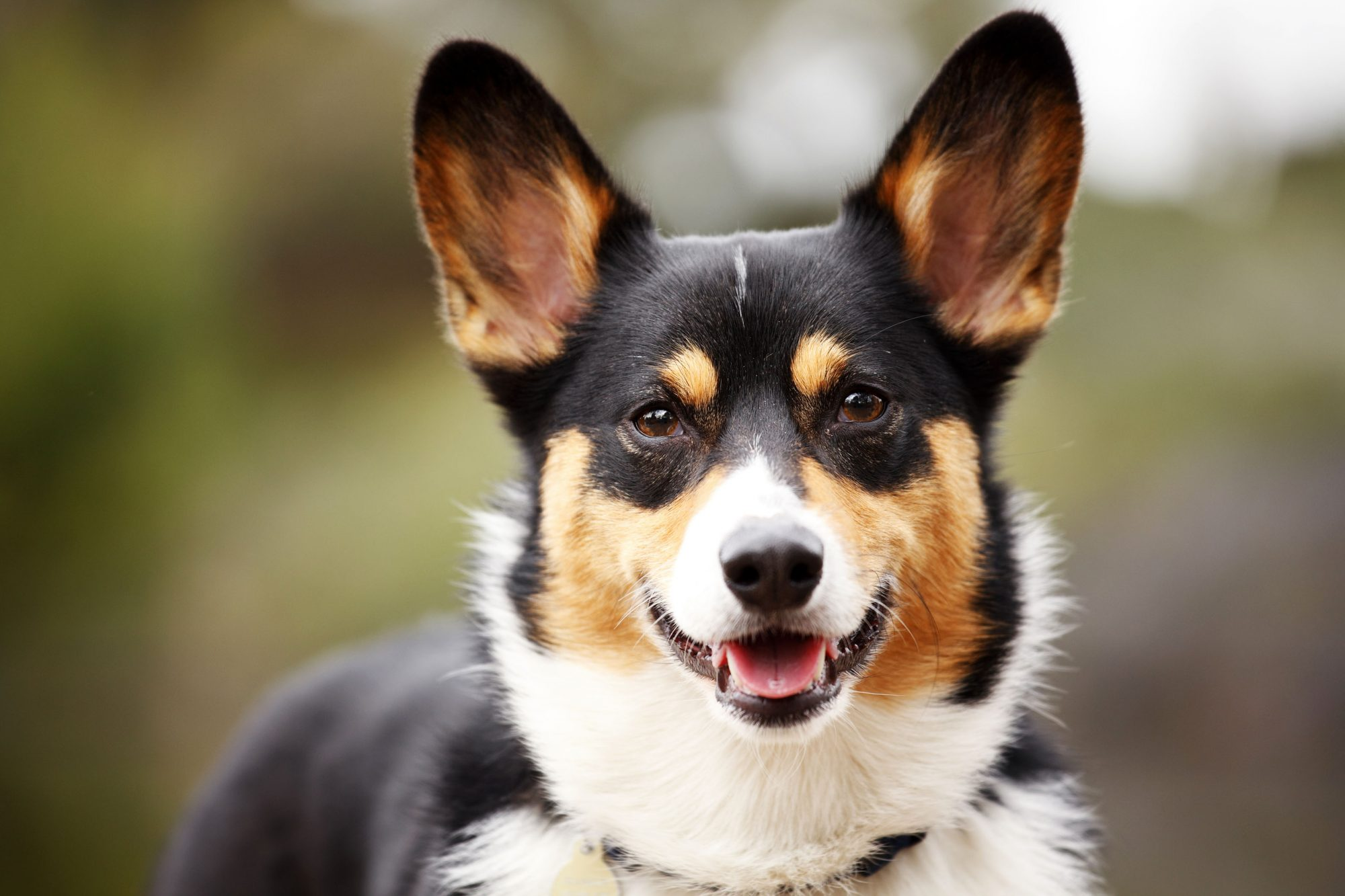 black tan white Corgi close up
