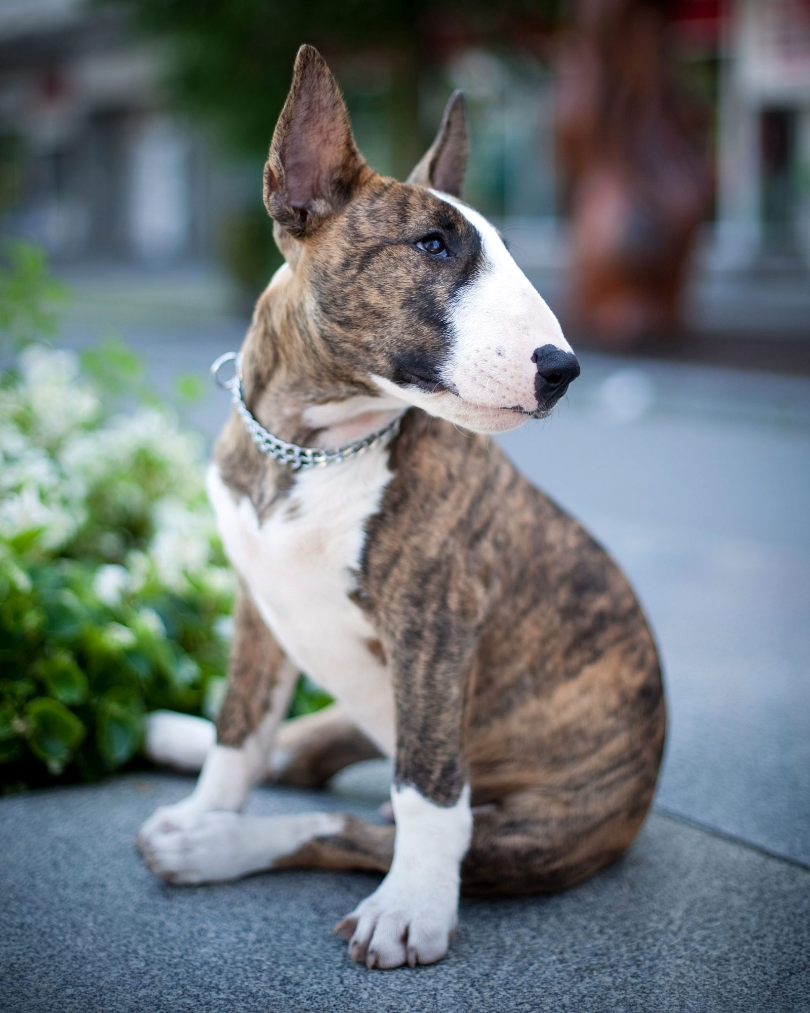 brown and white bull terrier sitting on sidewalk