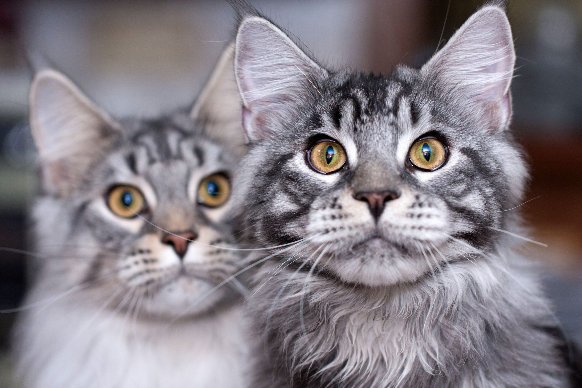 two striped gray Maine Coon cats