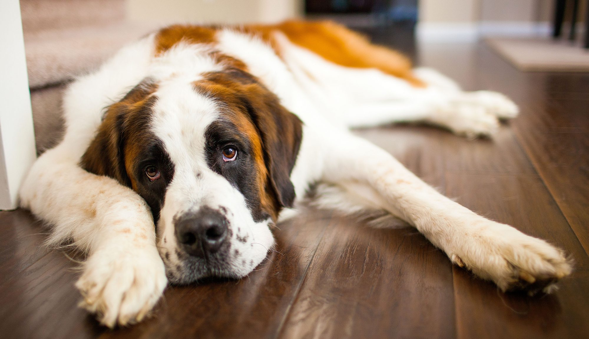 sleepy saint bernard lying on floor