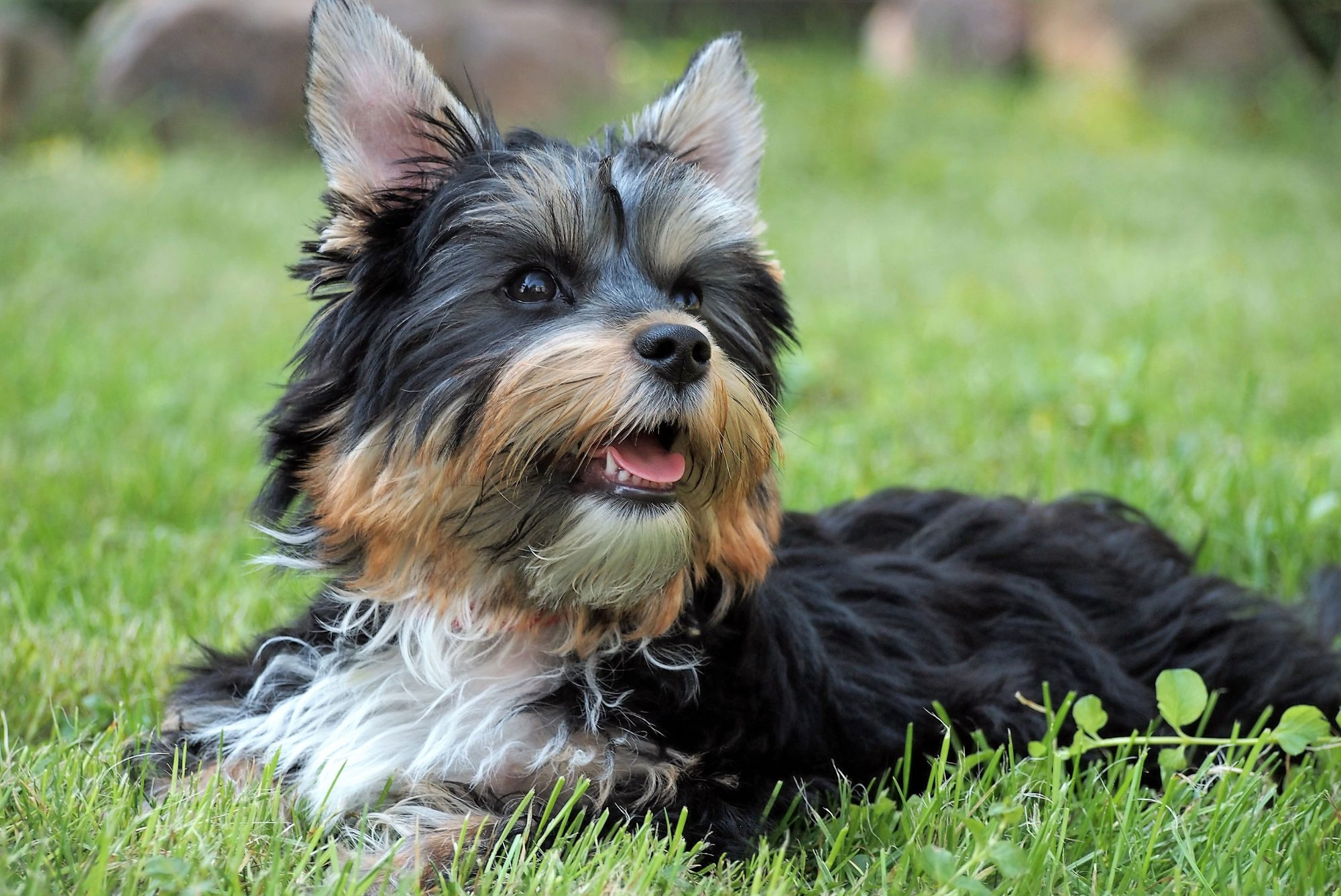 tri-color yorkshire terrier lying on grass