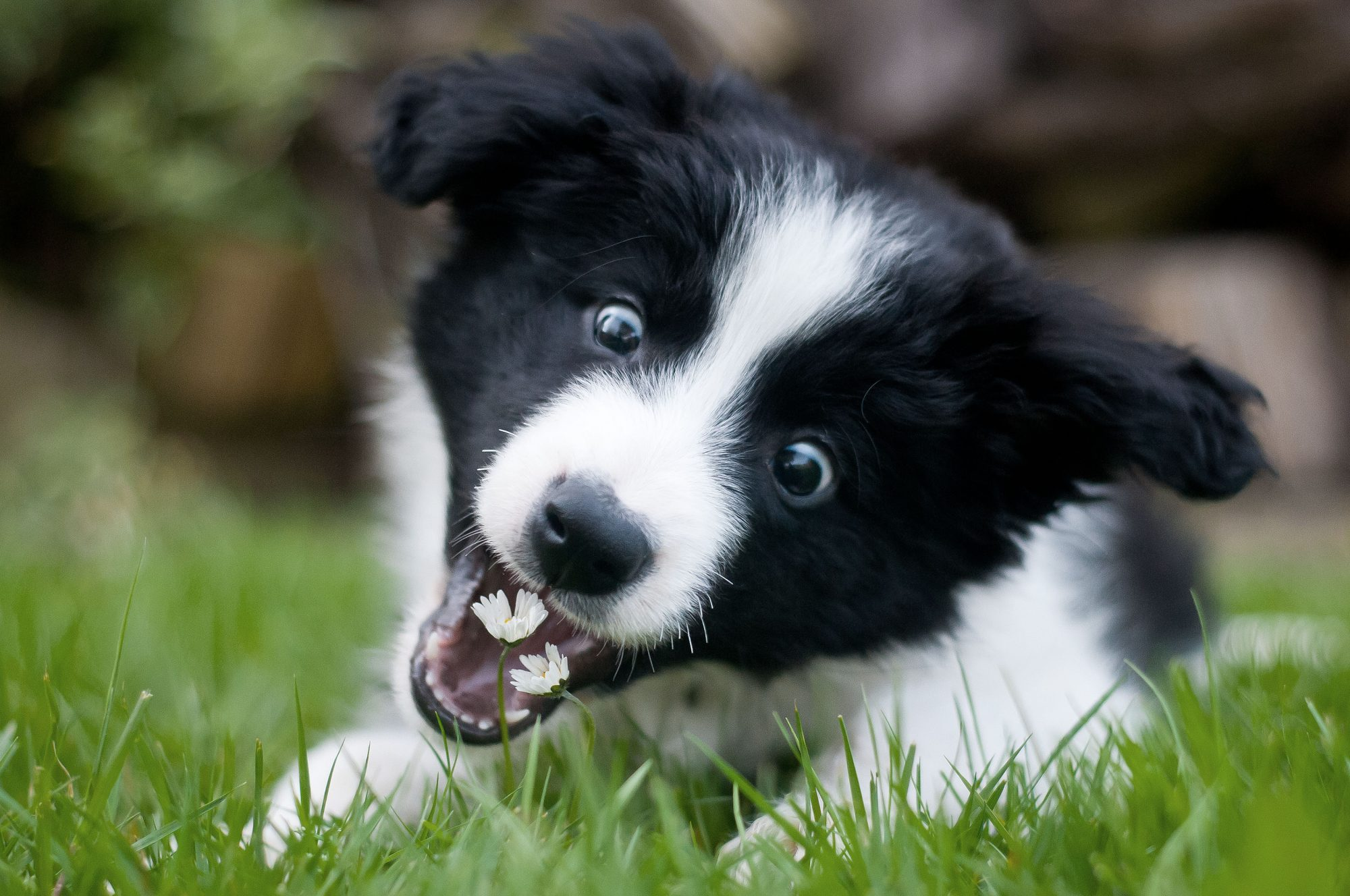 black and white dog eating grass