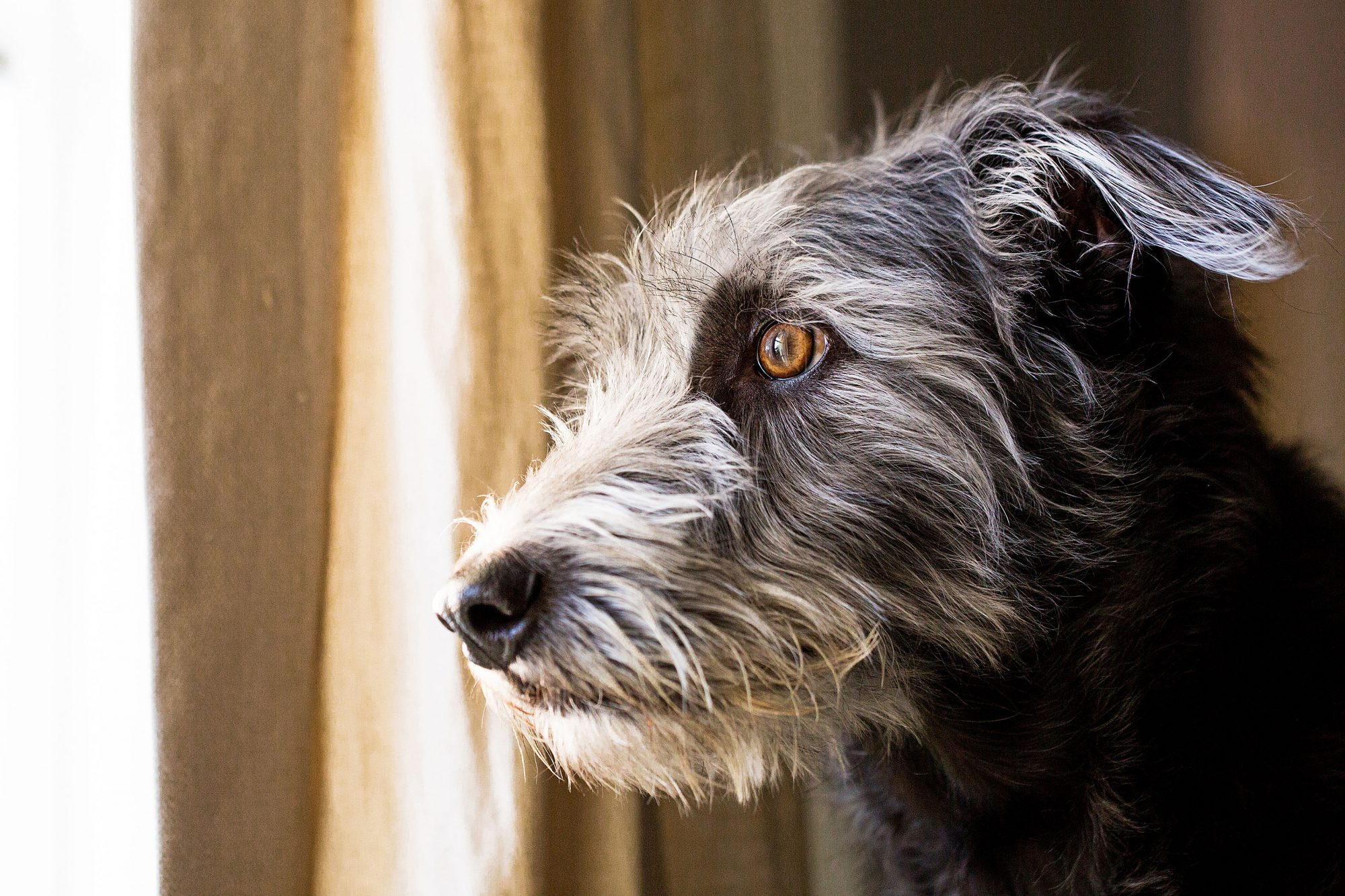 terrier looking out the window