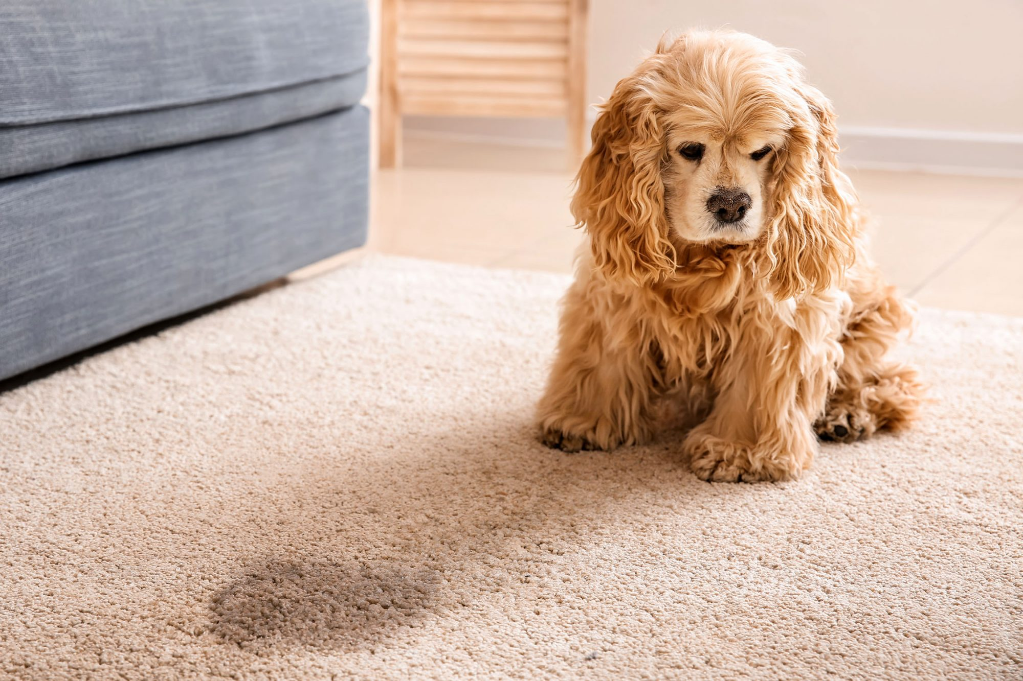 cocker spaniel sitting by wet spot on carpet
