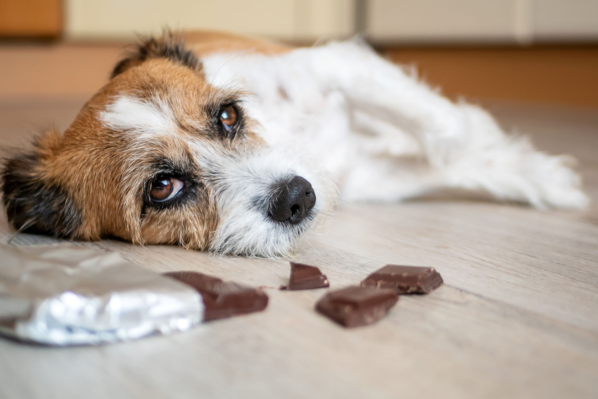 dog lying on floor looking sick with chocolate nearby