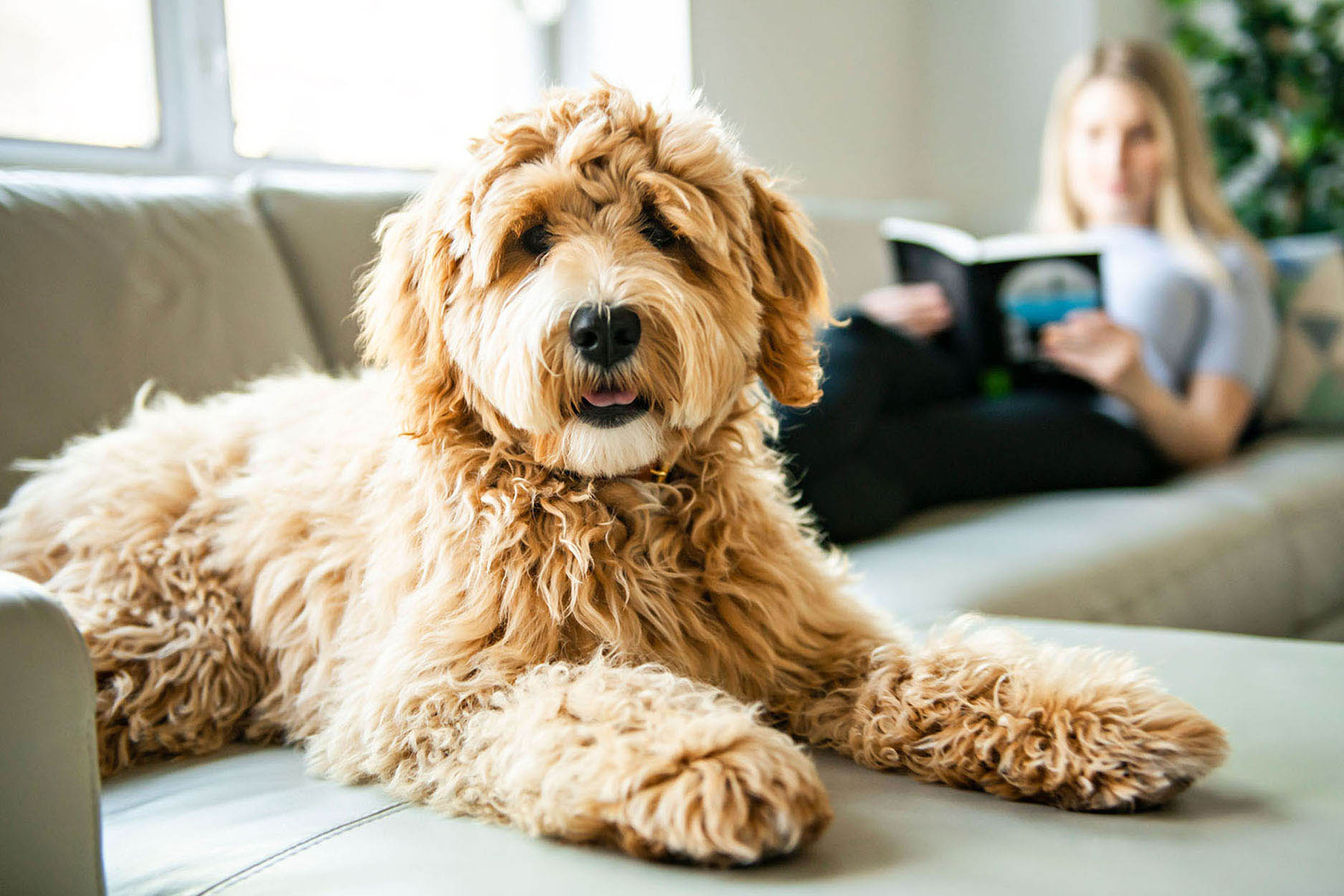 Labradoodle on couch