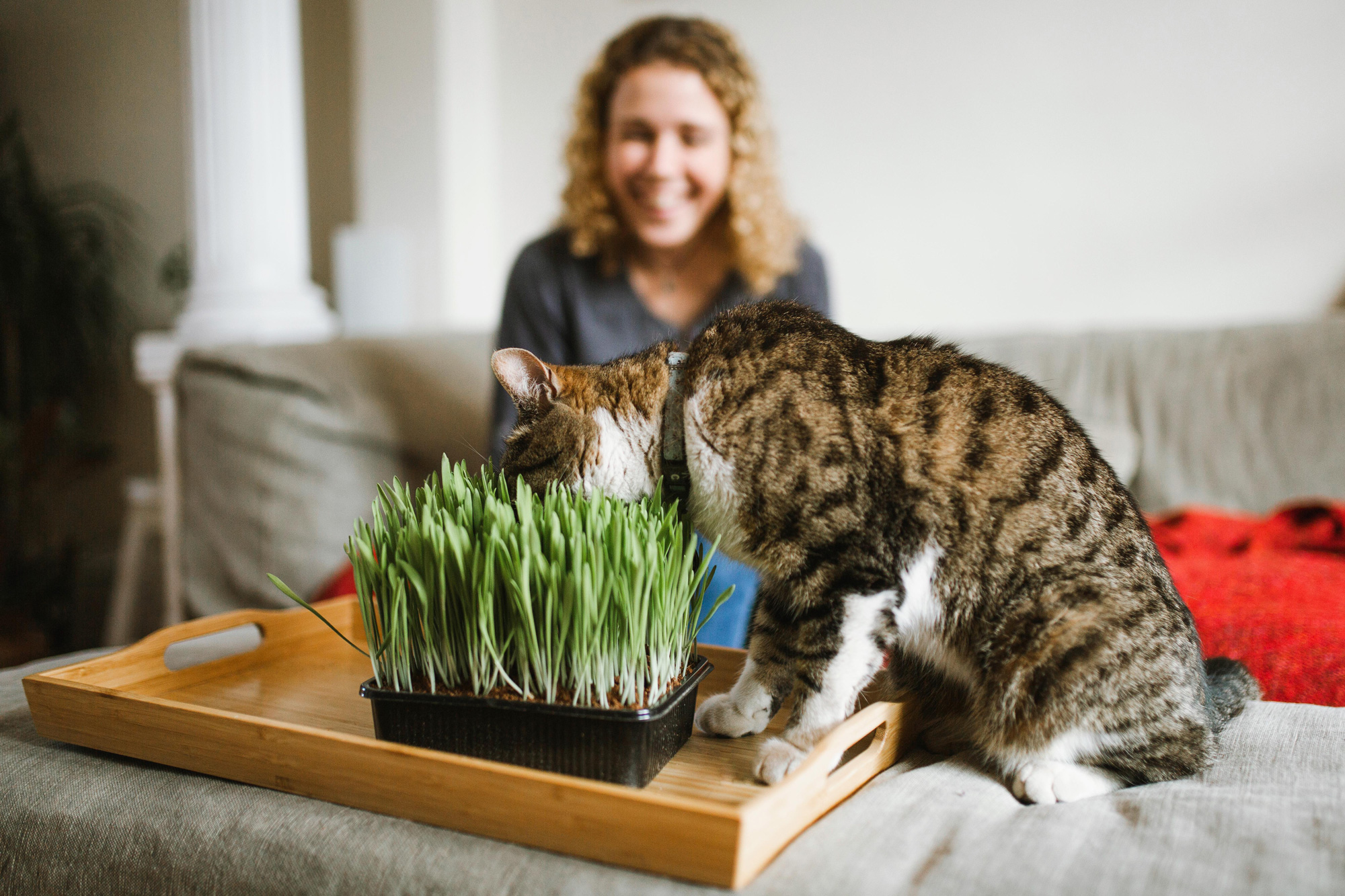 cat eating grass indoors